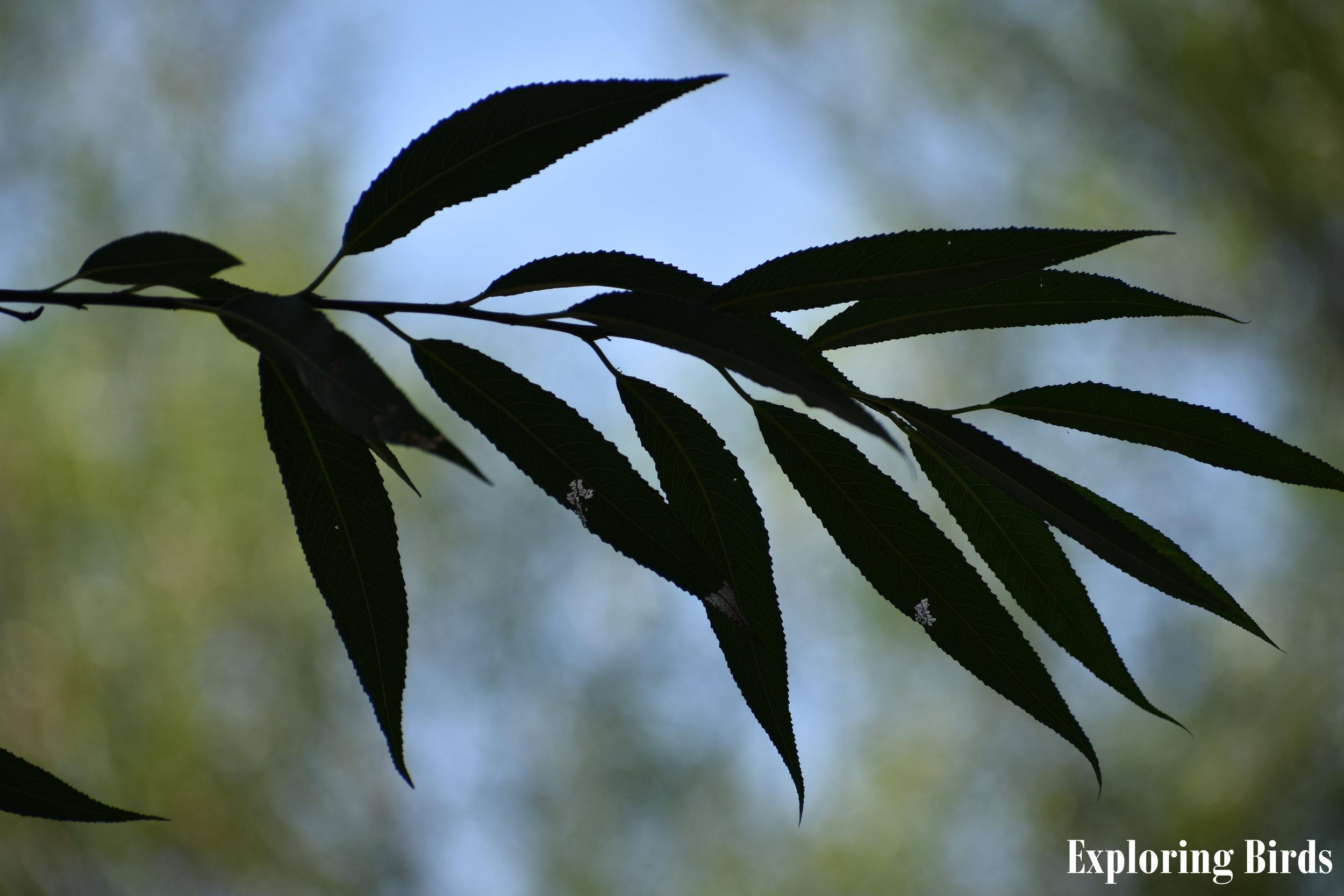 Black Willow Identification