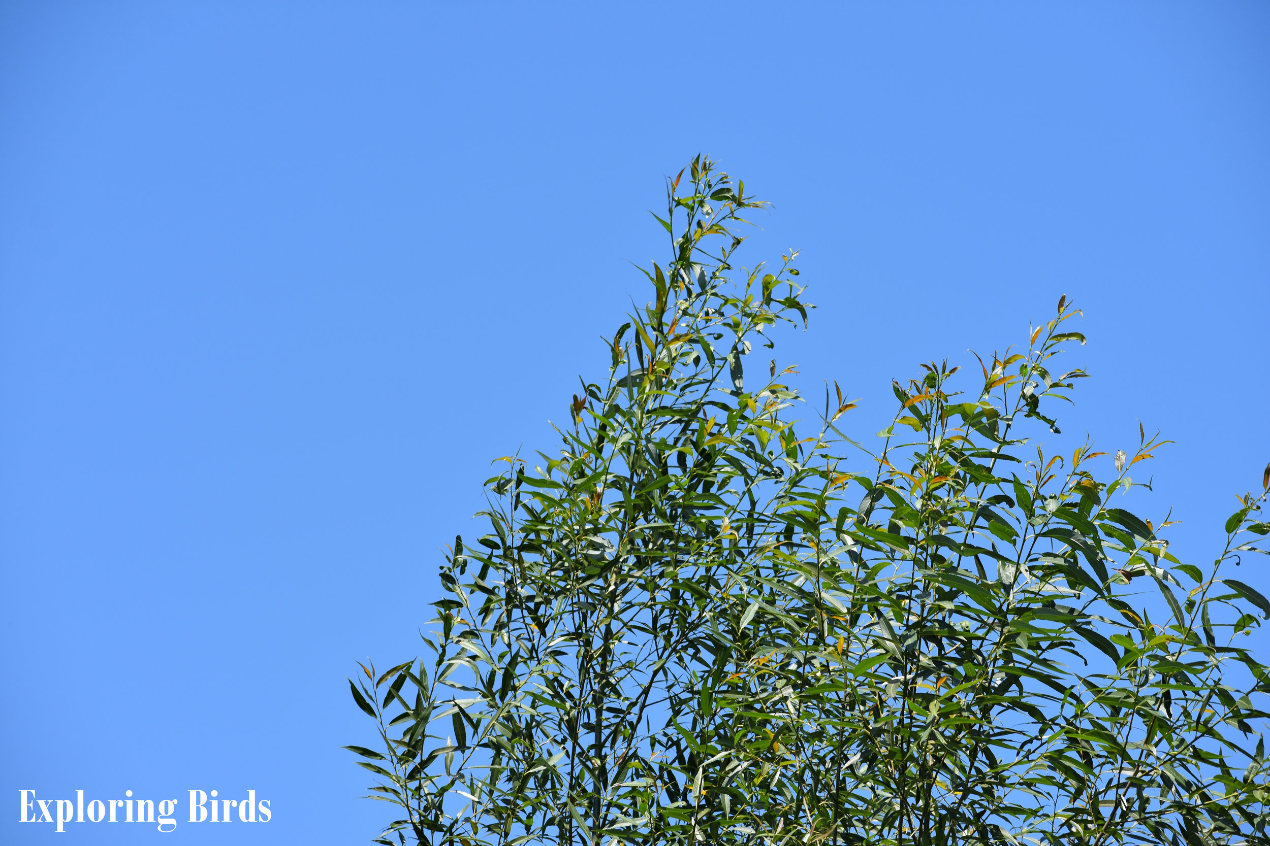 Black Willow is a tree that attracts birds