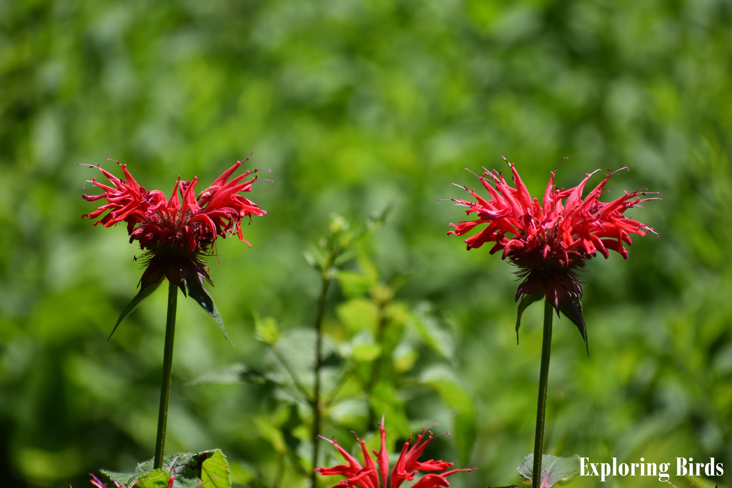Bee Balm is a flower that attracts hummingbirds