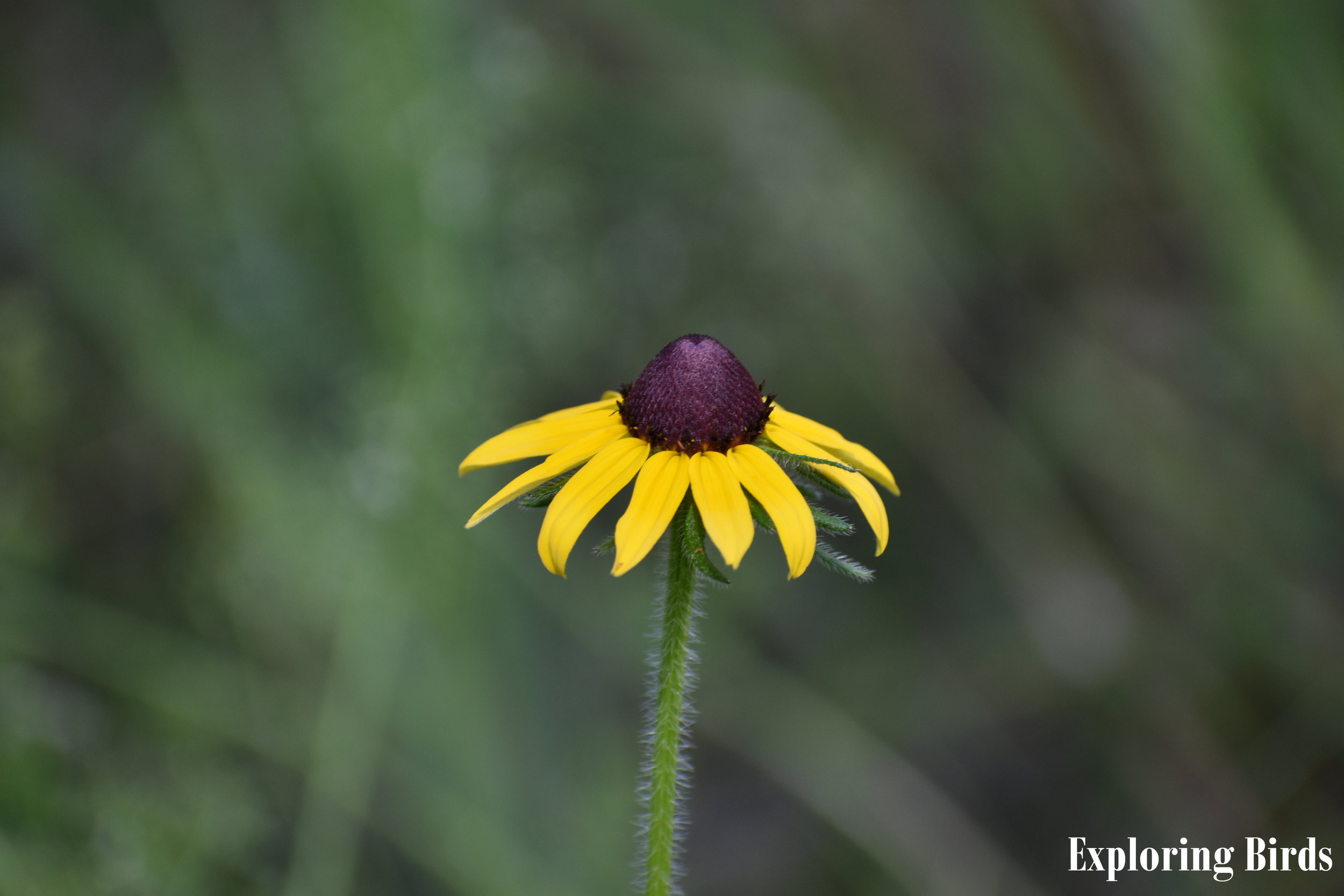 Black-Eyed Susan is a flower that attracts birds