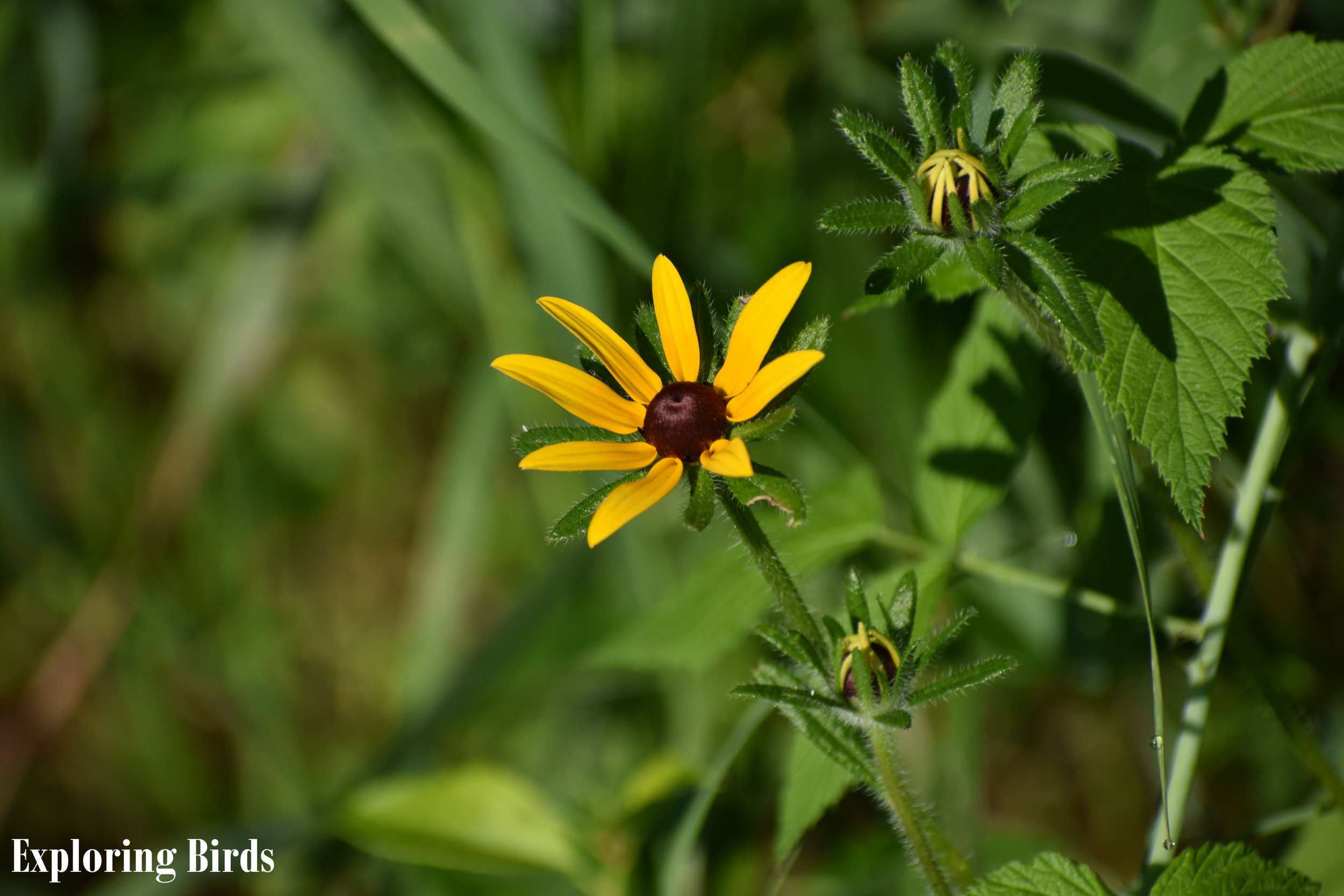 Black-Eyed Susan attracts American Goldfinch