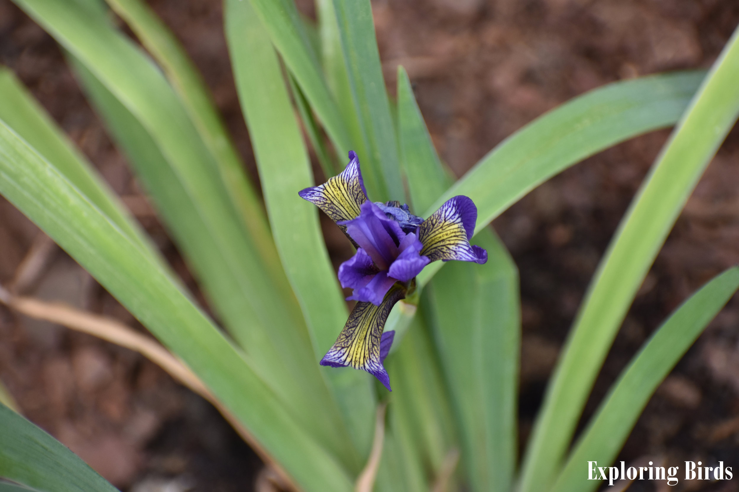 Hummingbirds are attracted to Blue Flag Iris