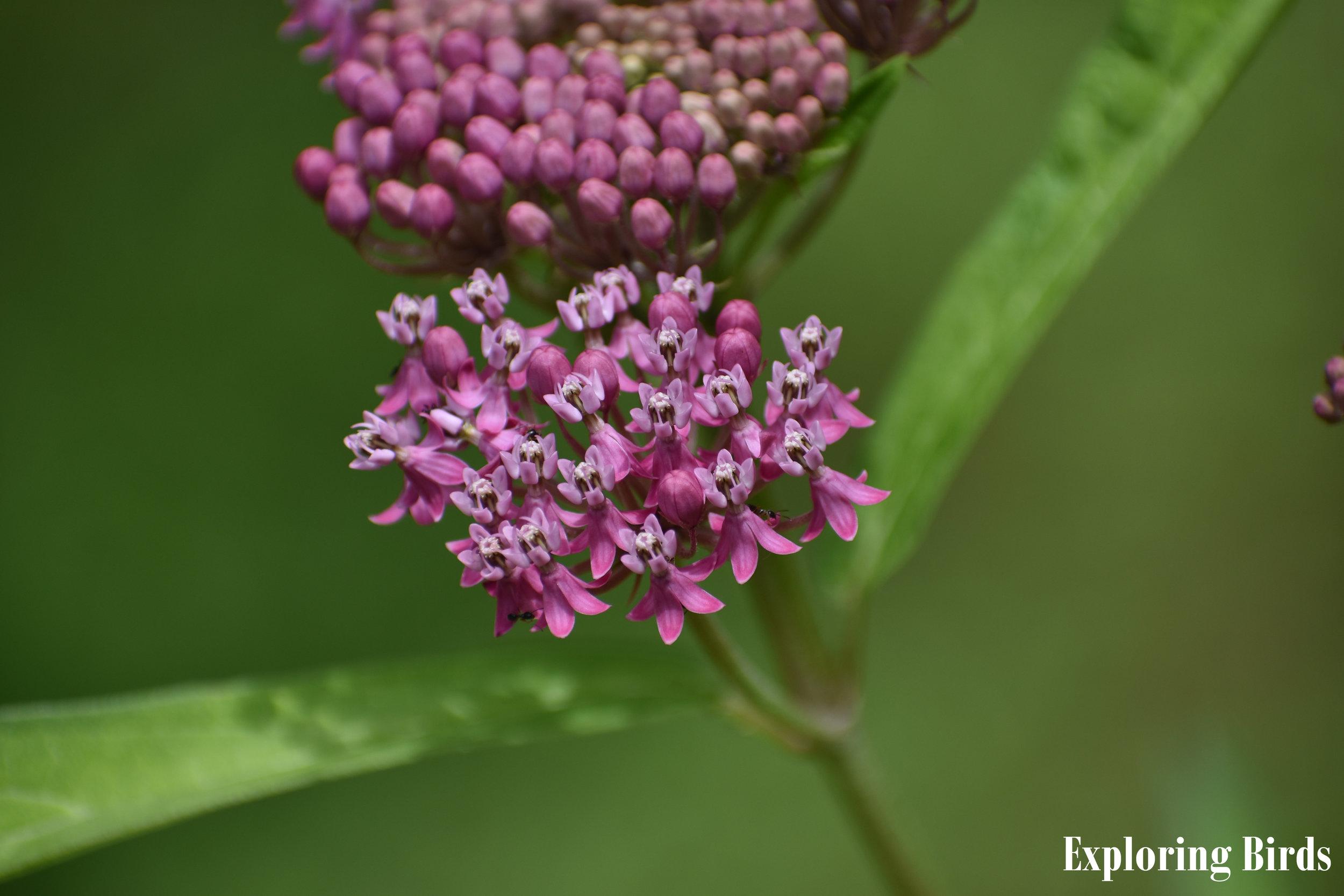 Swamp Milkweed is a butterfly favorite