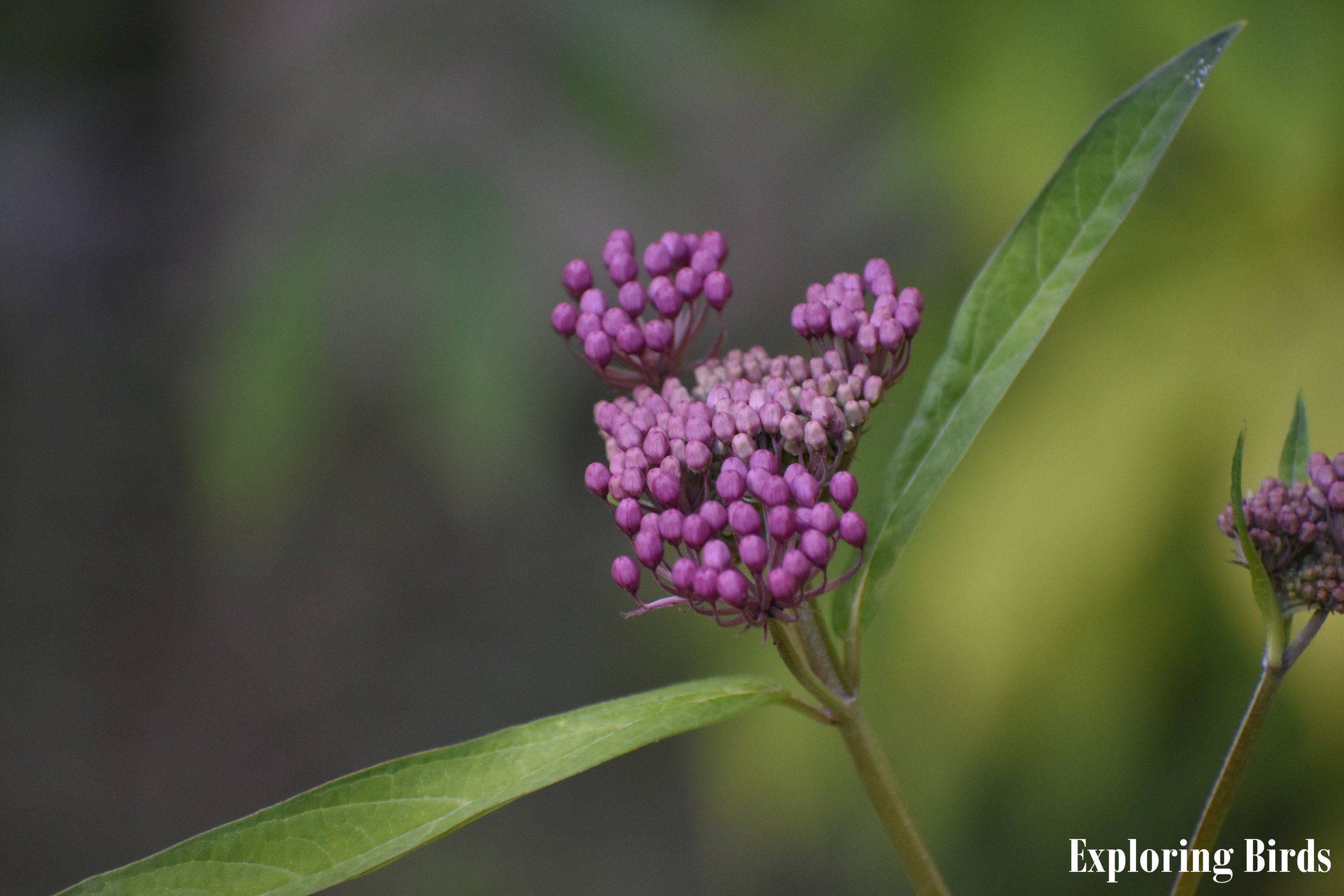 Swamp Milkweed is a flower that attracts birds