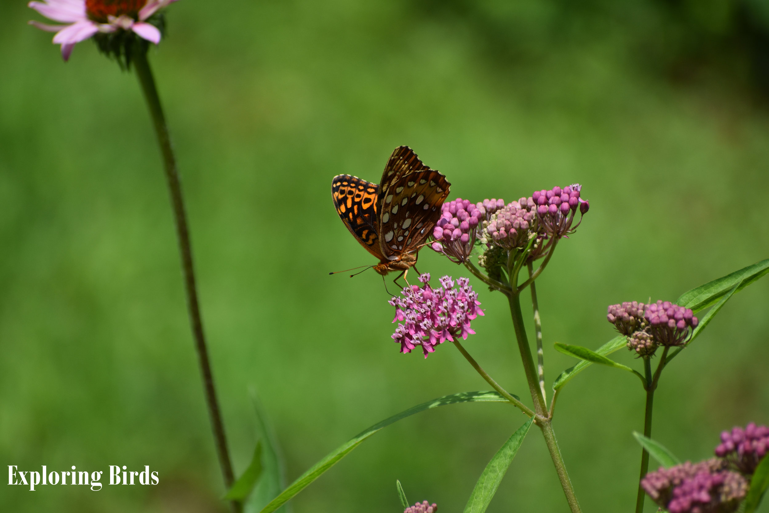 Swamp Milkweed is a flower that attracts insects