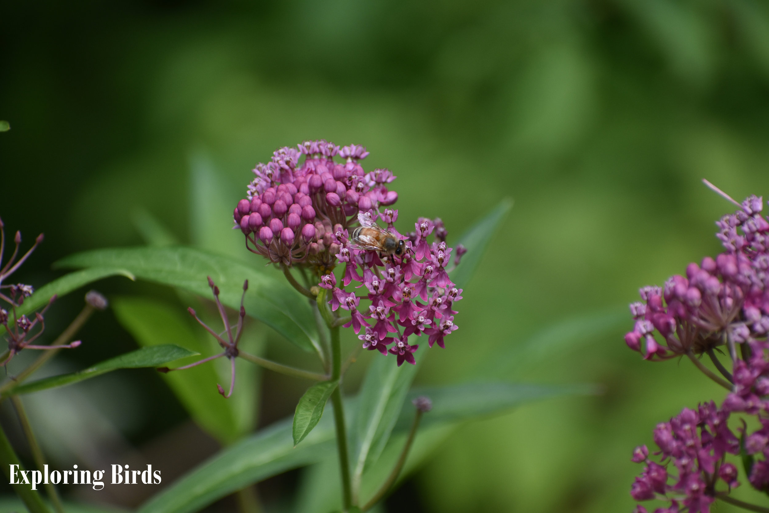 Swamp Milkweed is one of the best flowers to plant for attracting butterflies
