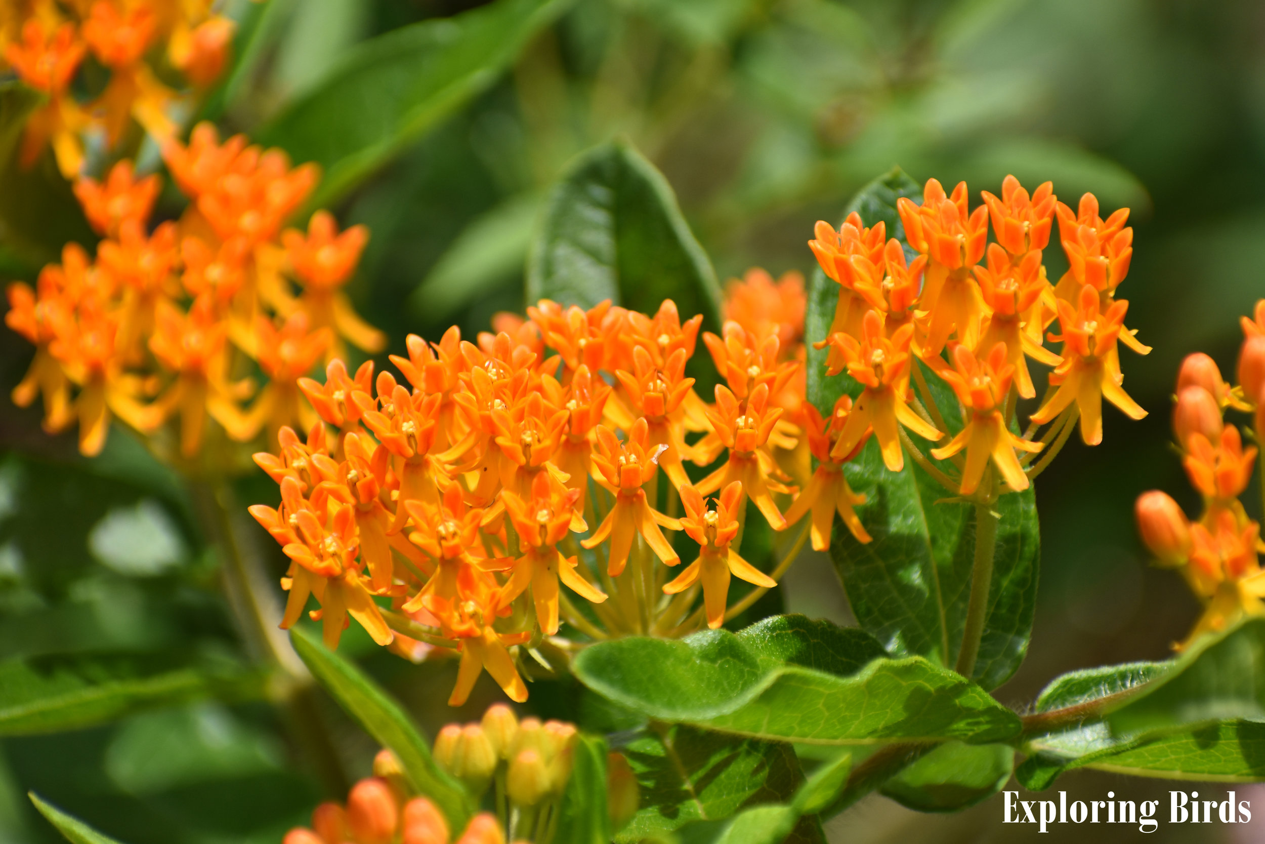 Butterfly Milkweed attracts Monarch Butterfly