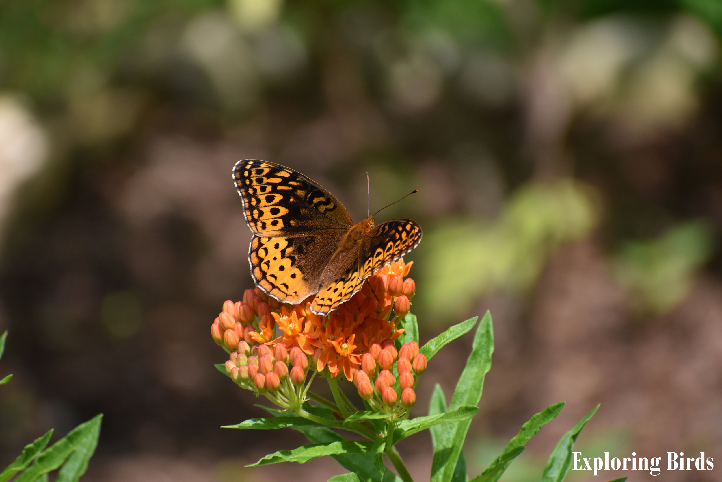 Great Spotted Fritillary on Butterfly Milkweed