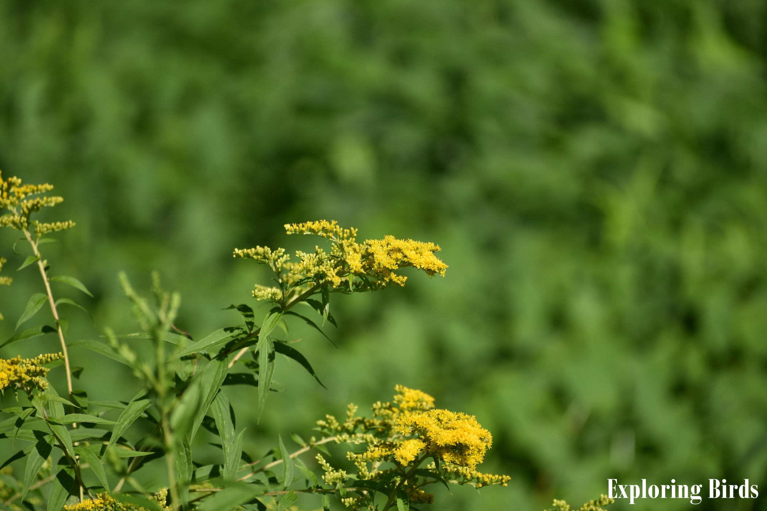 Goldenrod attracts Norther Cardinal