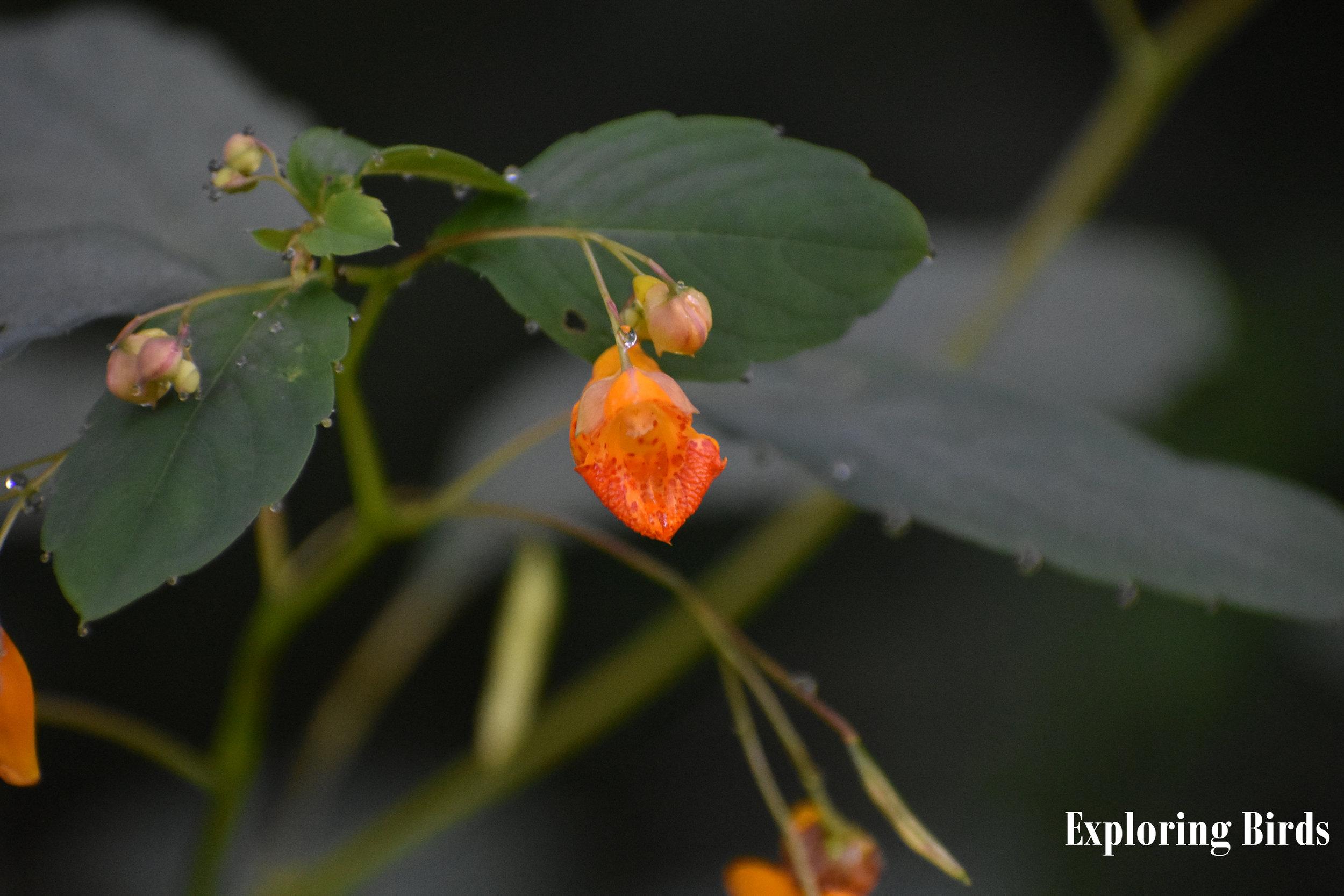Jewelweed attracts hummingbirds