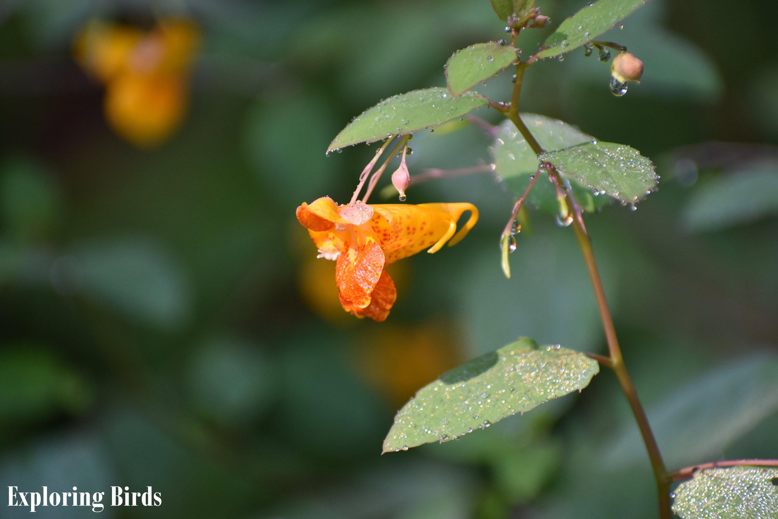 Jewelweed is a hummingbird favorite