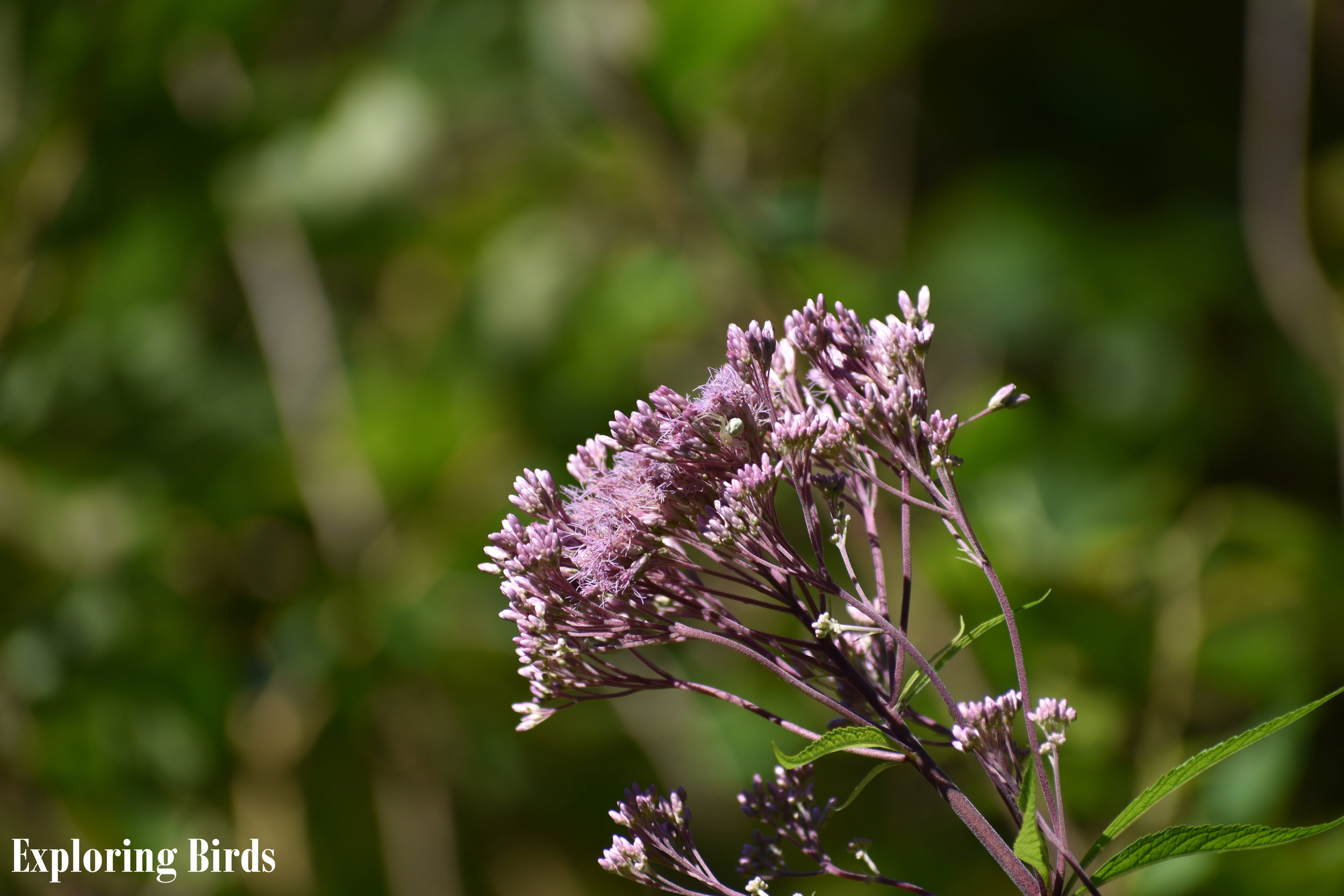 Joe Pye Weed is a flower that attracts birds