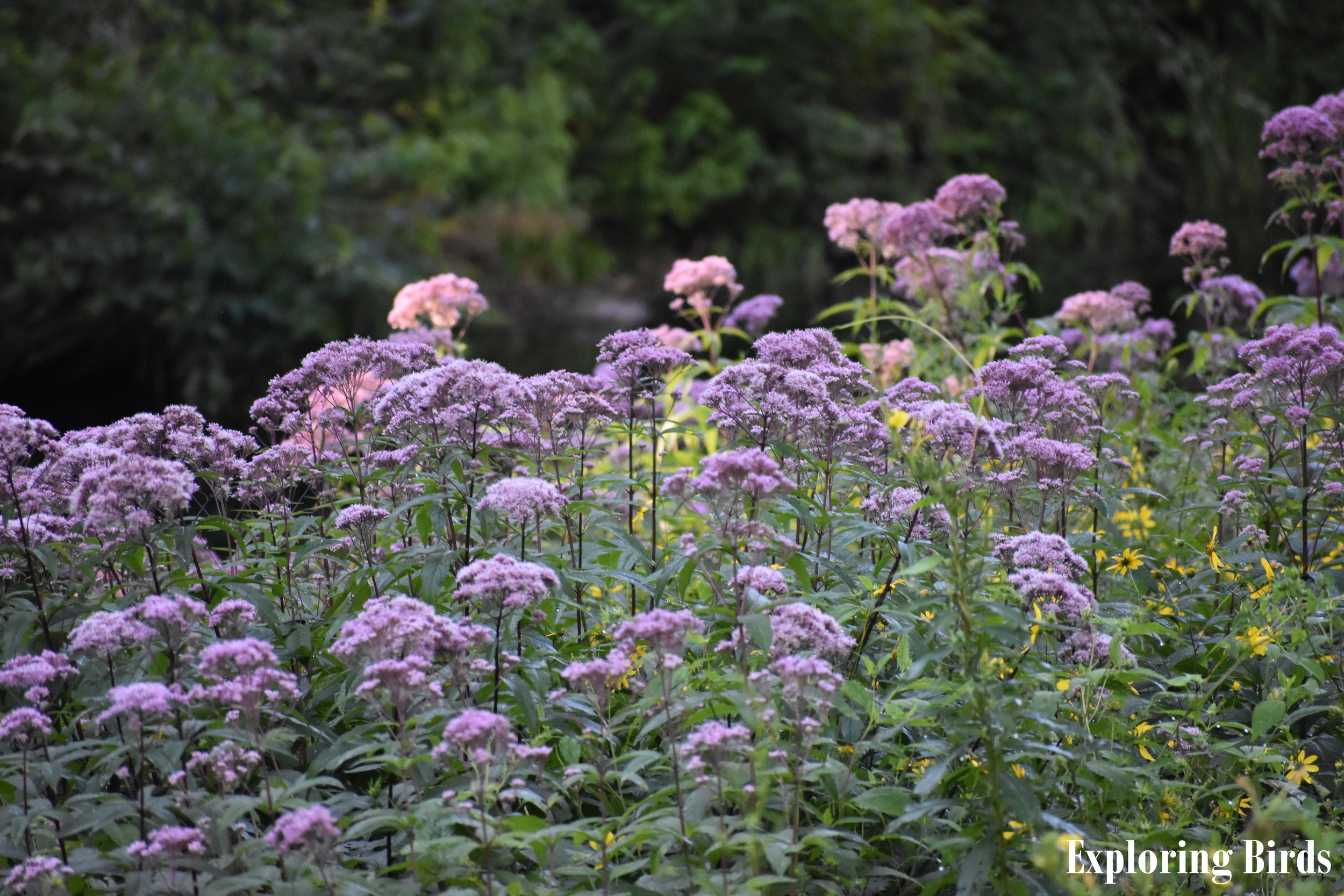 Joe Pye Weed attracts many insects