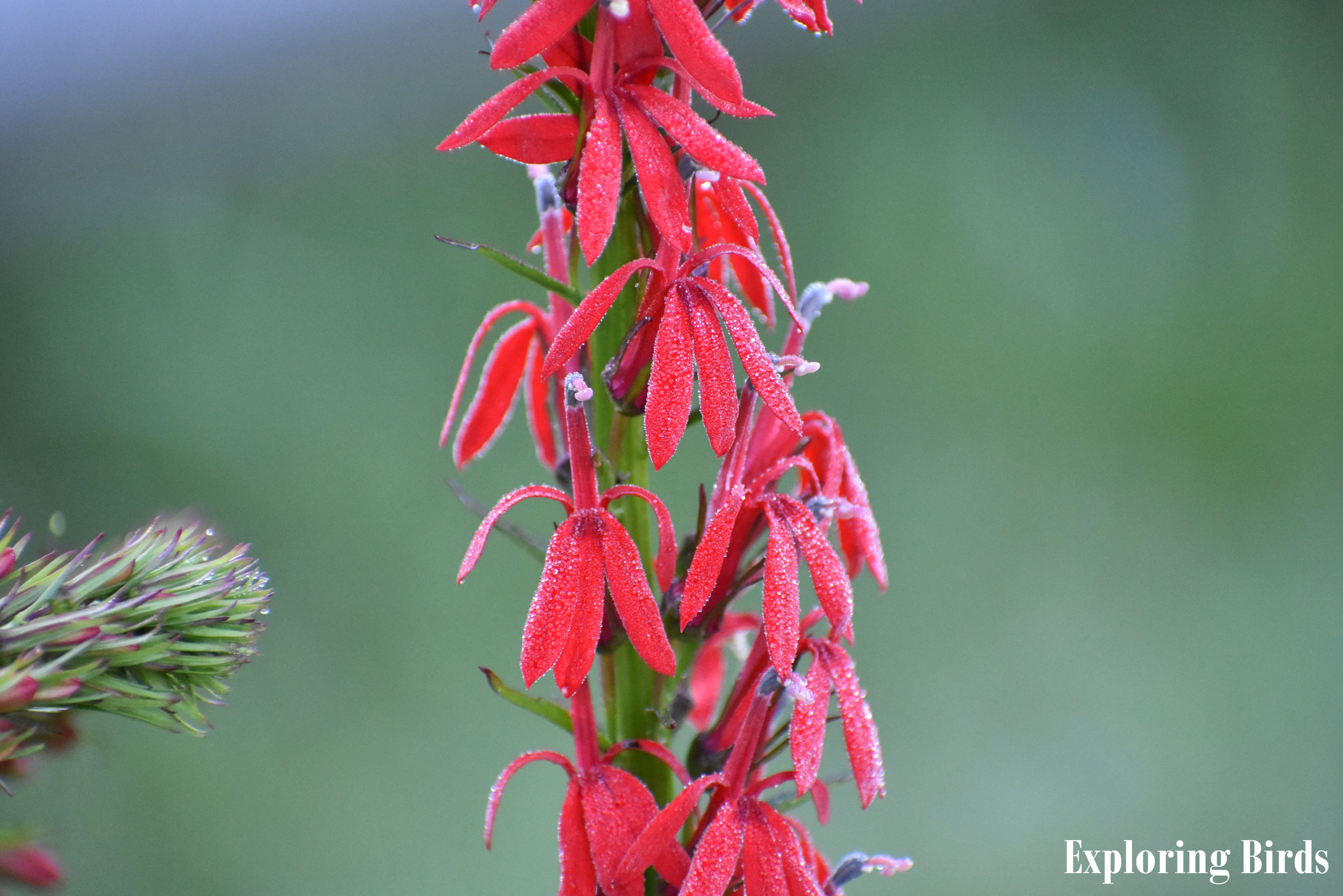 Cardinal Flower attracts hummingbirds due to is red color