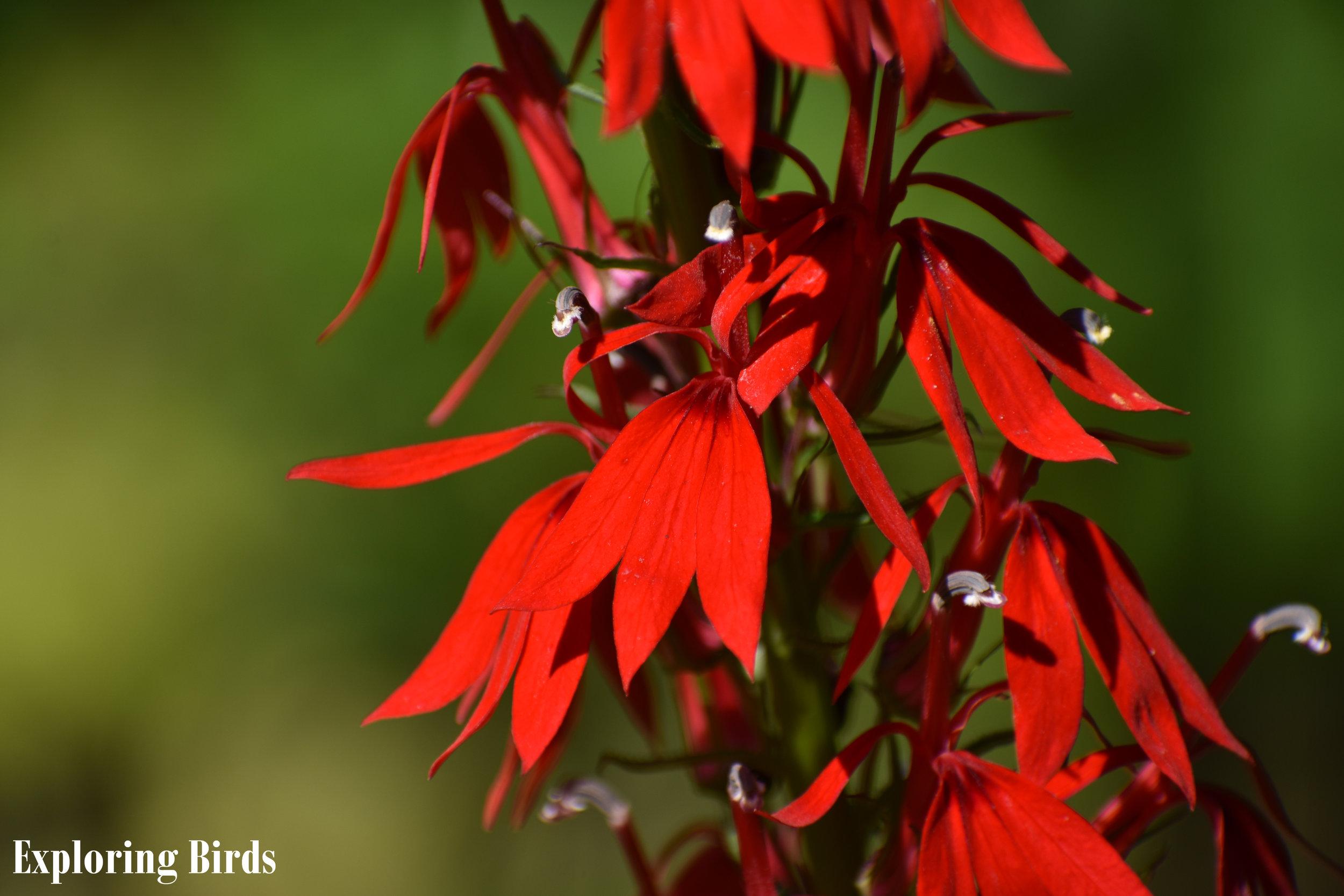 Cardinal Flower attracts hummingbirds