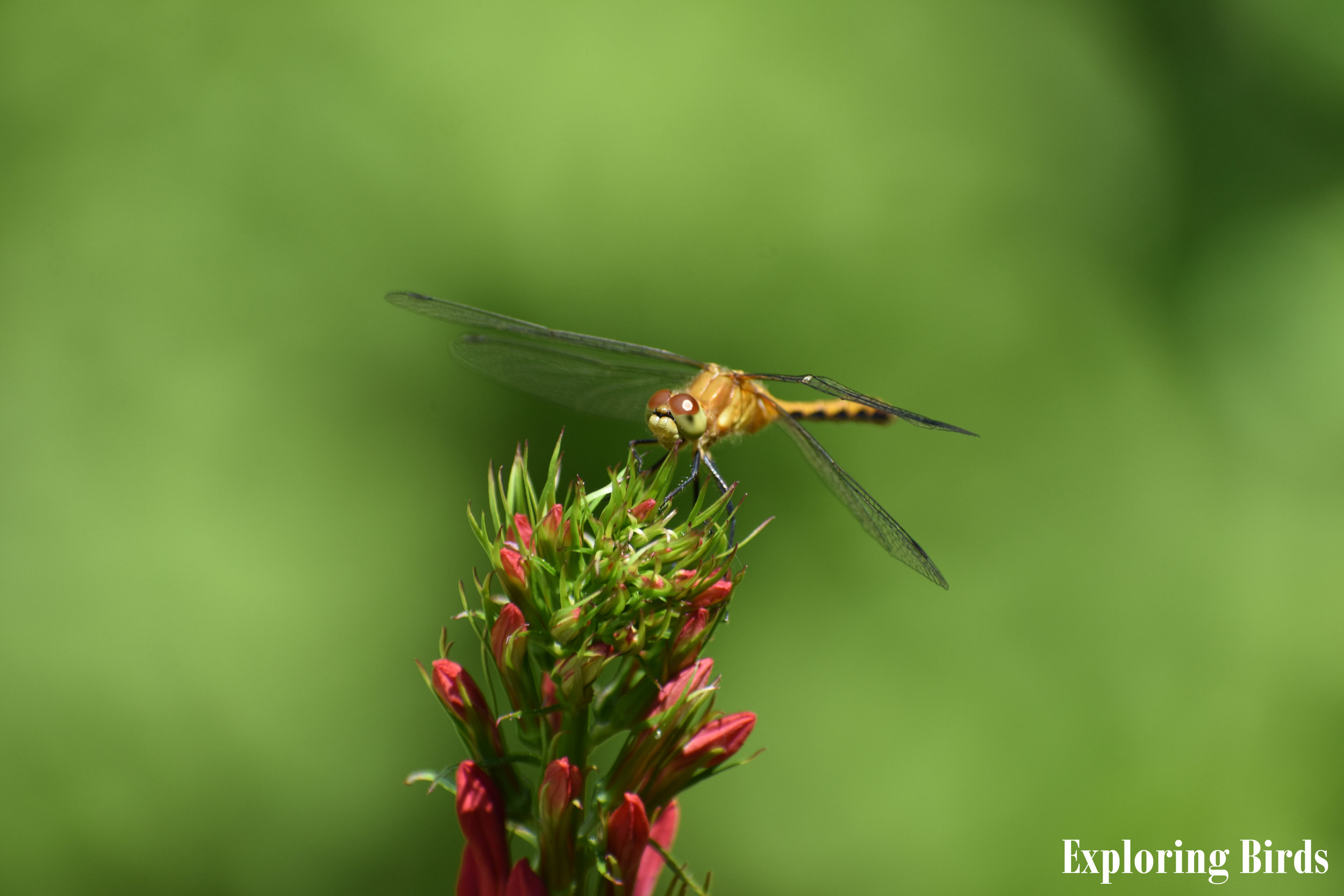 Cardinal Flower attracts insects