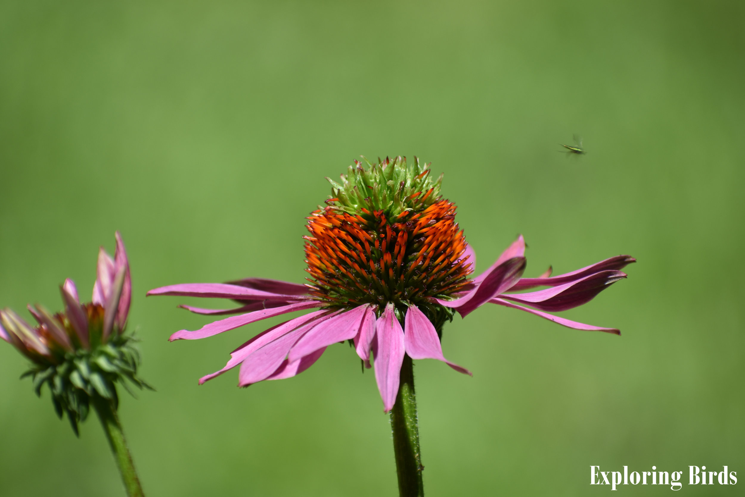 Purple Coneflower is a flower that attracts insects