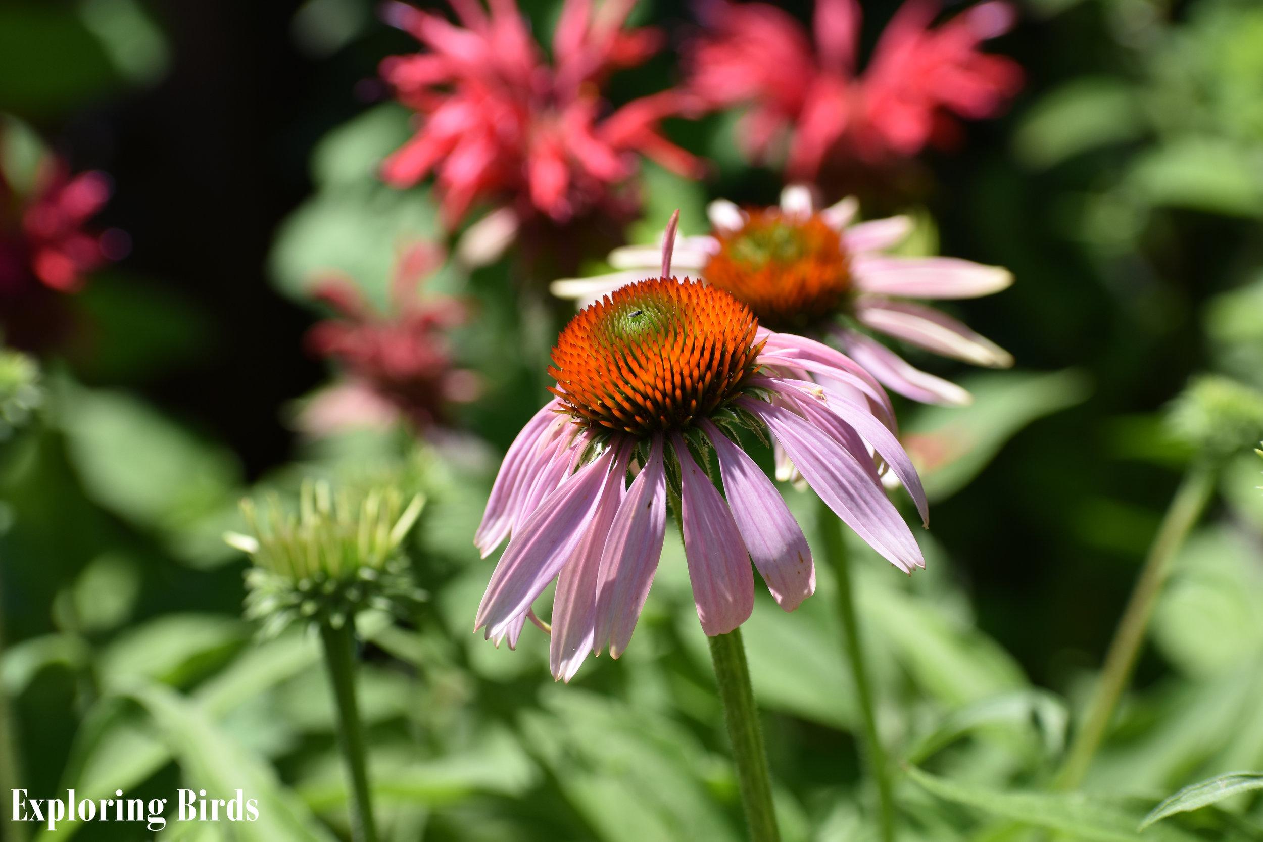 Purple Coneflower attracts butterflies