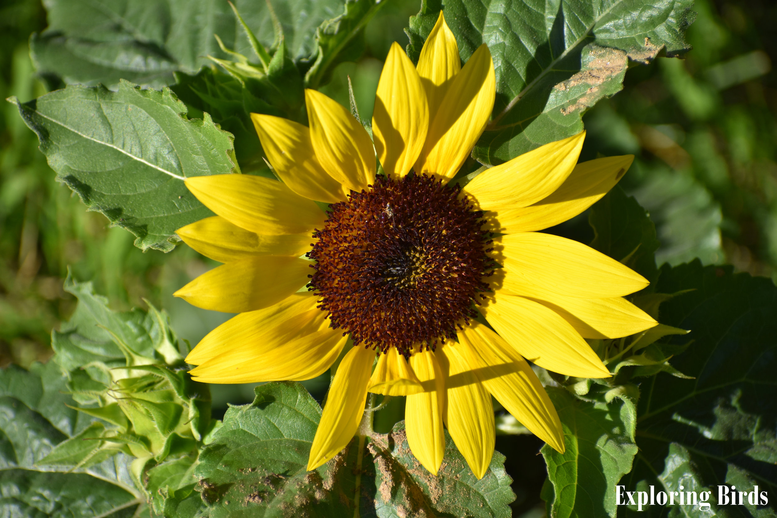 Sunflower is the flower that attracts the most birds