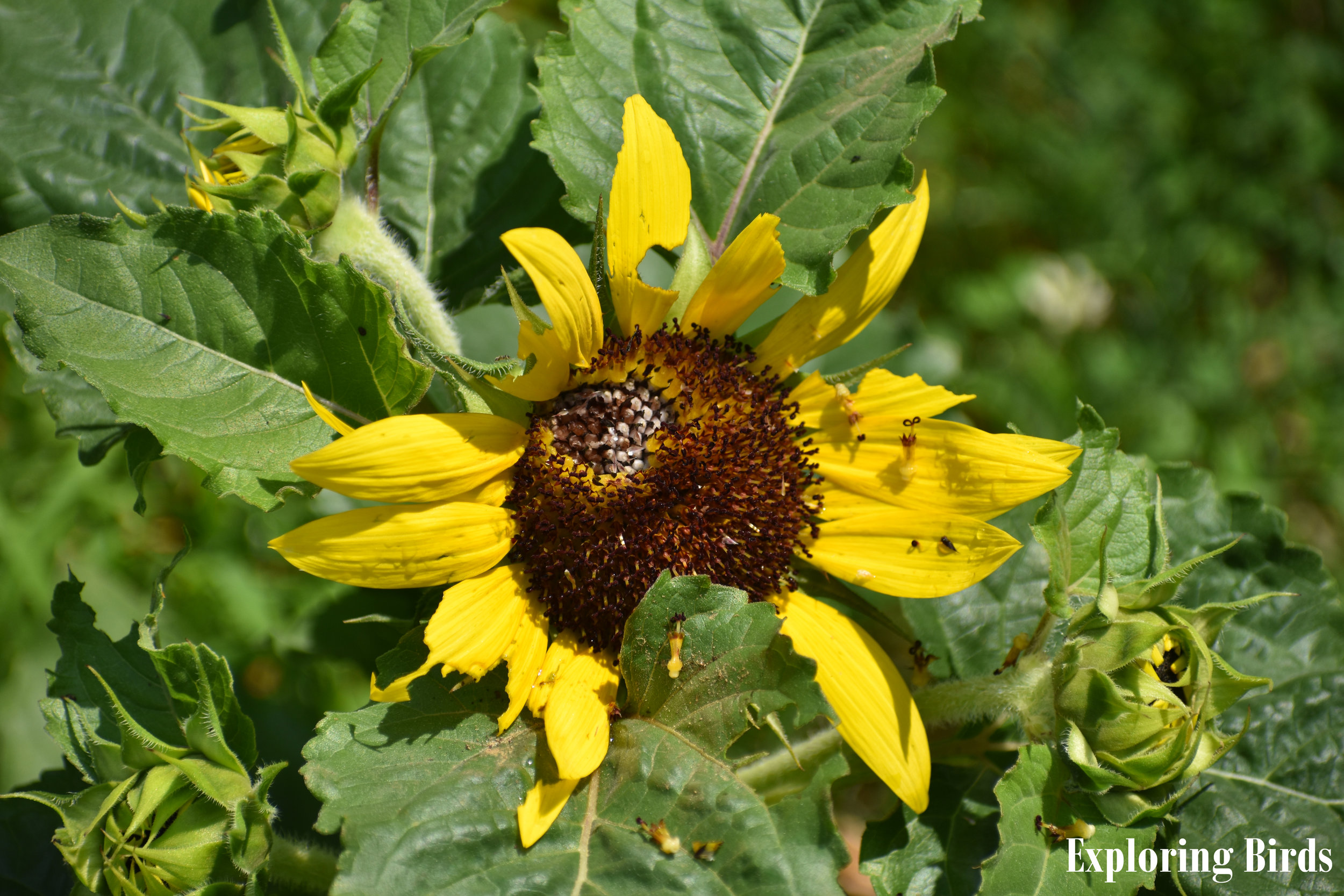 There is no flower better at attracting birds than sunflower