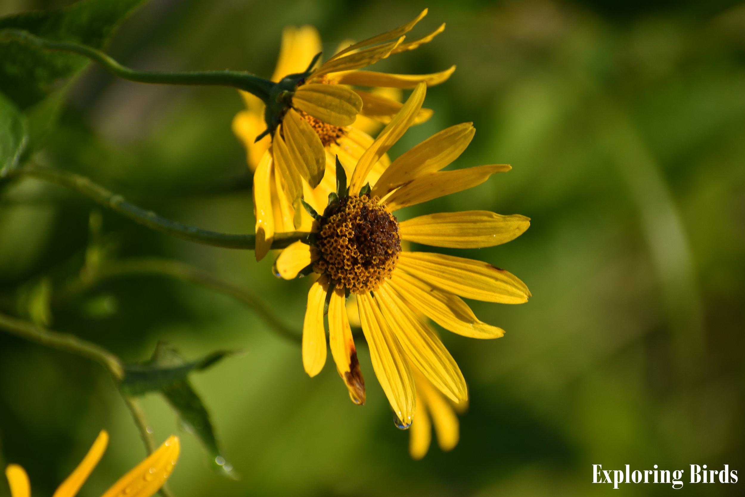 Sunflower attracts Indigo Bunting