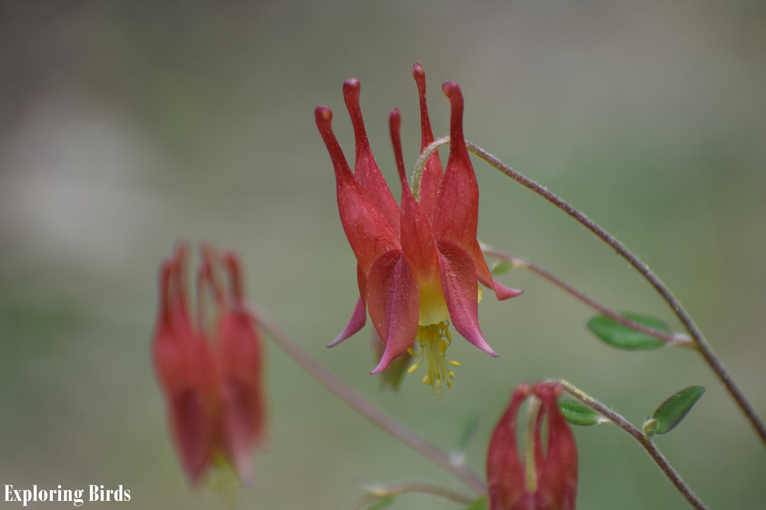 Red Columbine is a flower that attracts birds