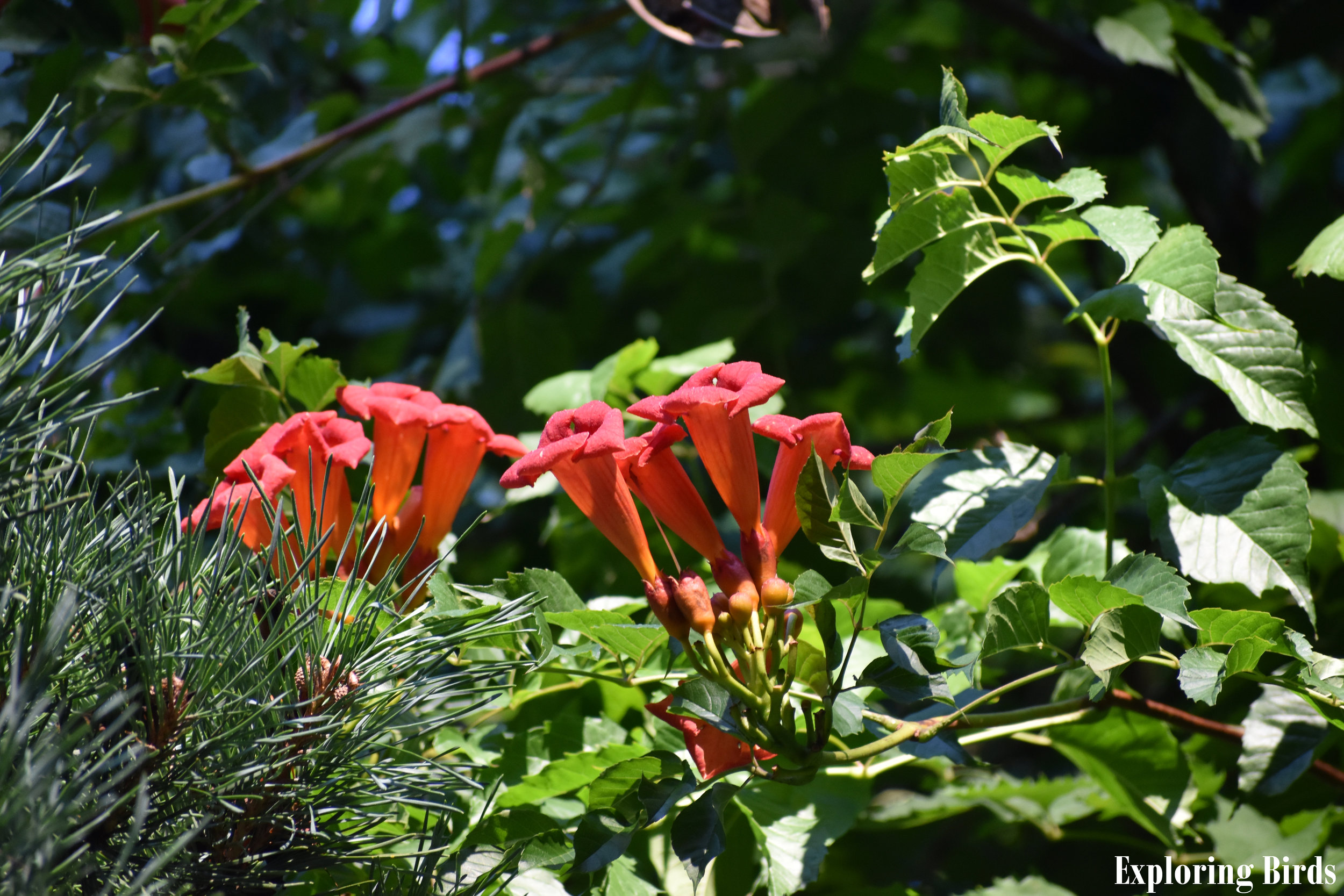 Trumpet Creeper is a flower that attracts hummingbirds