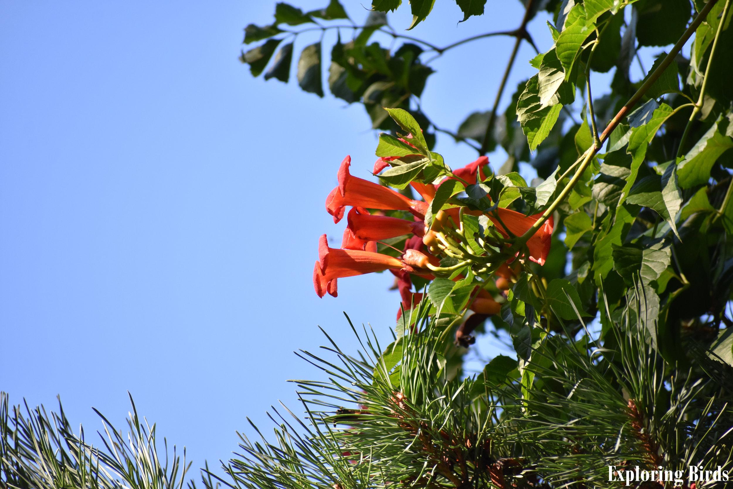 Trumpet Creeper attracts Ruby-Throated Hummingbird