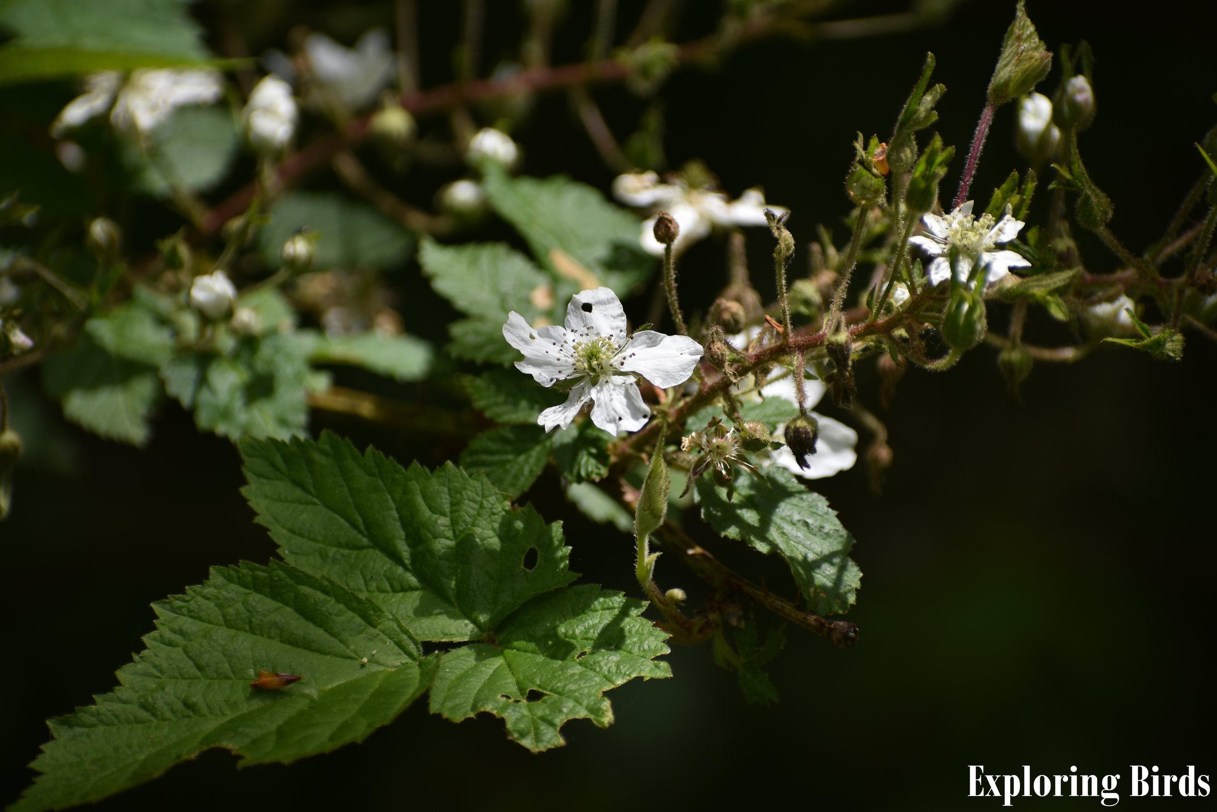 Wild Blackberry flower