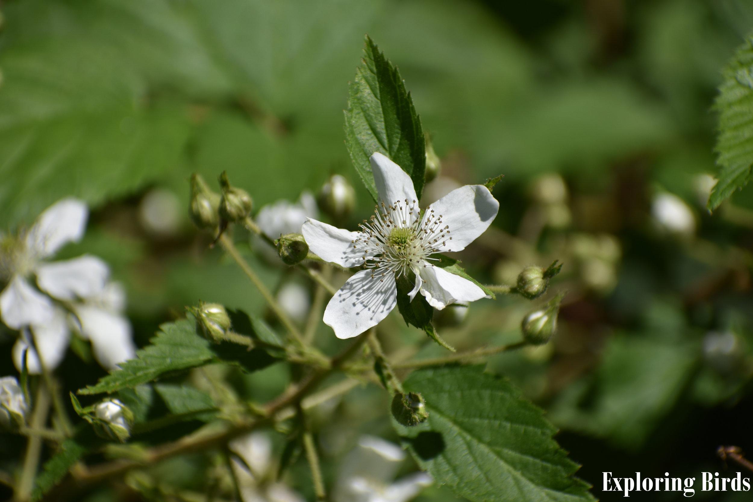 Wild Blackberry flowers