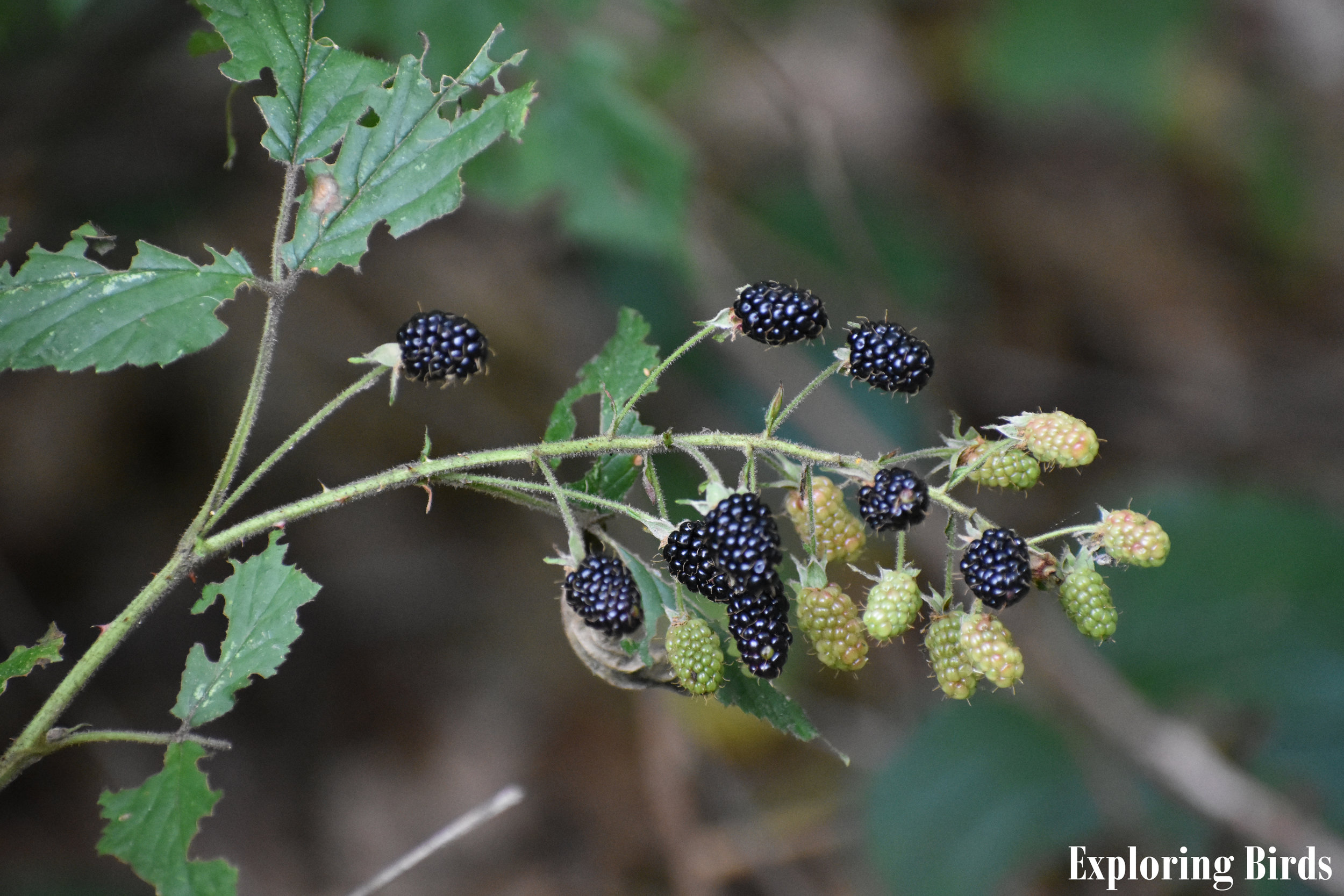 Wild Blackberry is one of the best plants for attracting birds