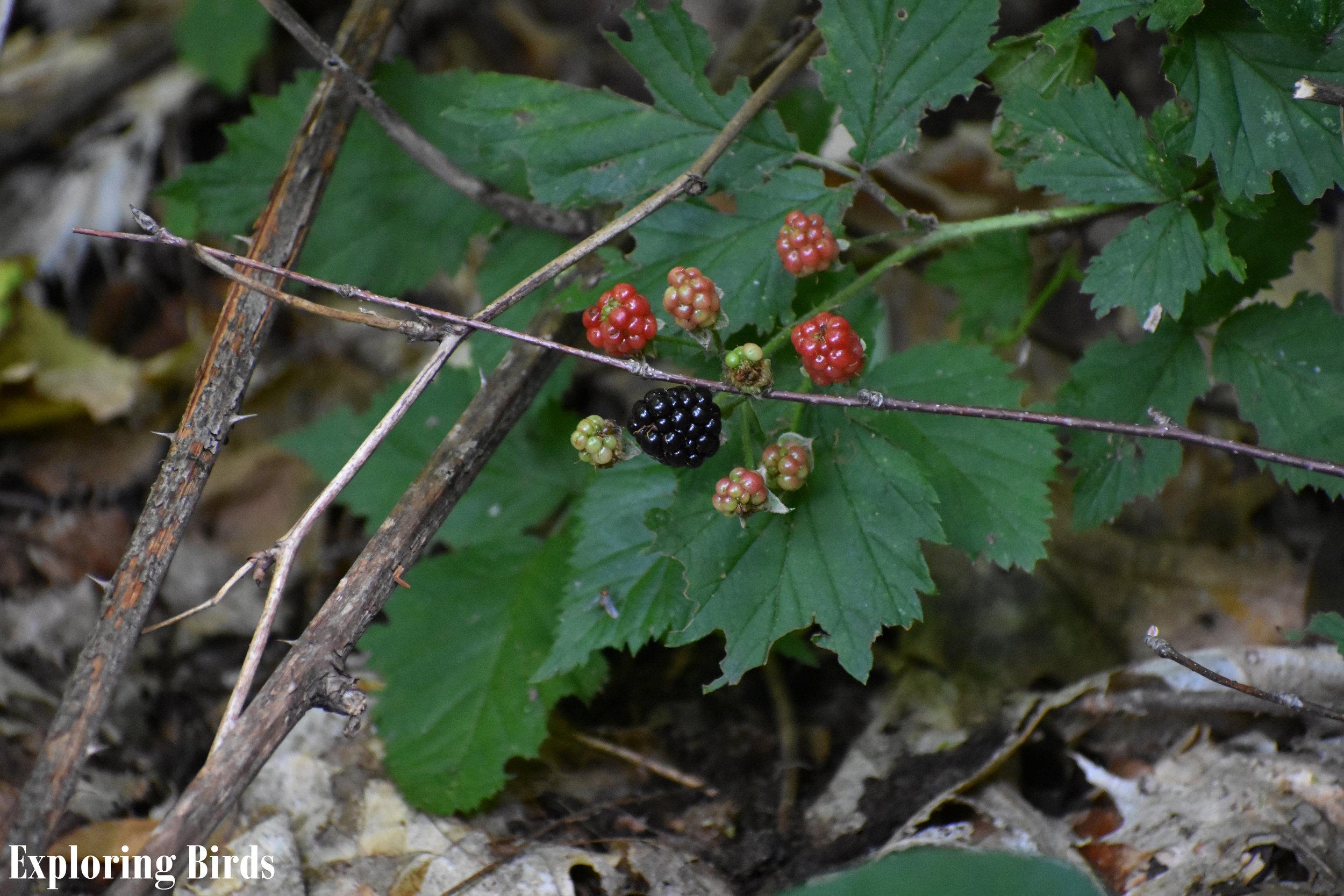 Wild Blackberry attracts Brown Thrasher