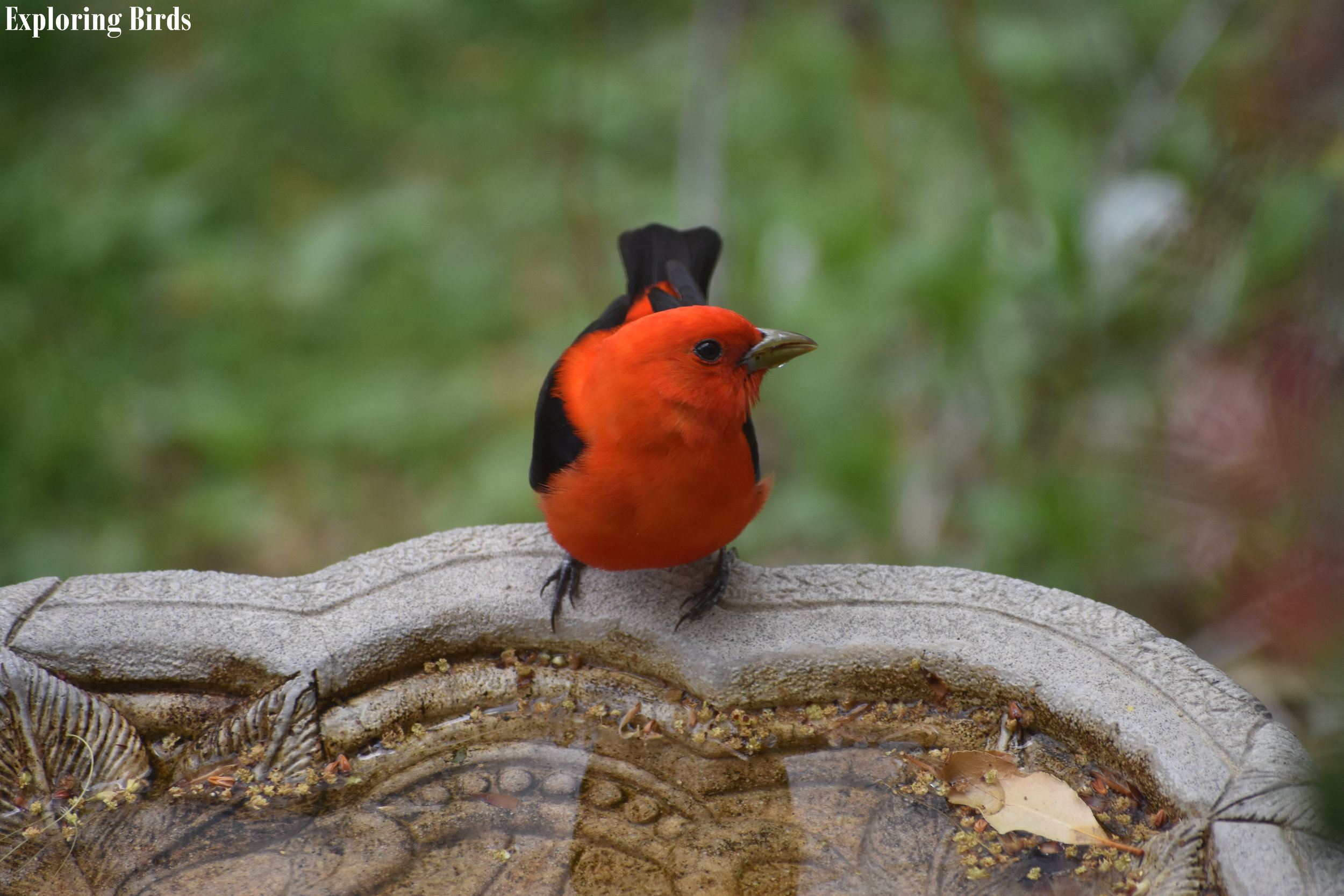 How to Attract Scarlet Tanager