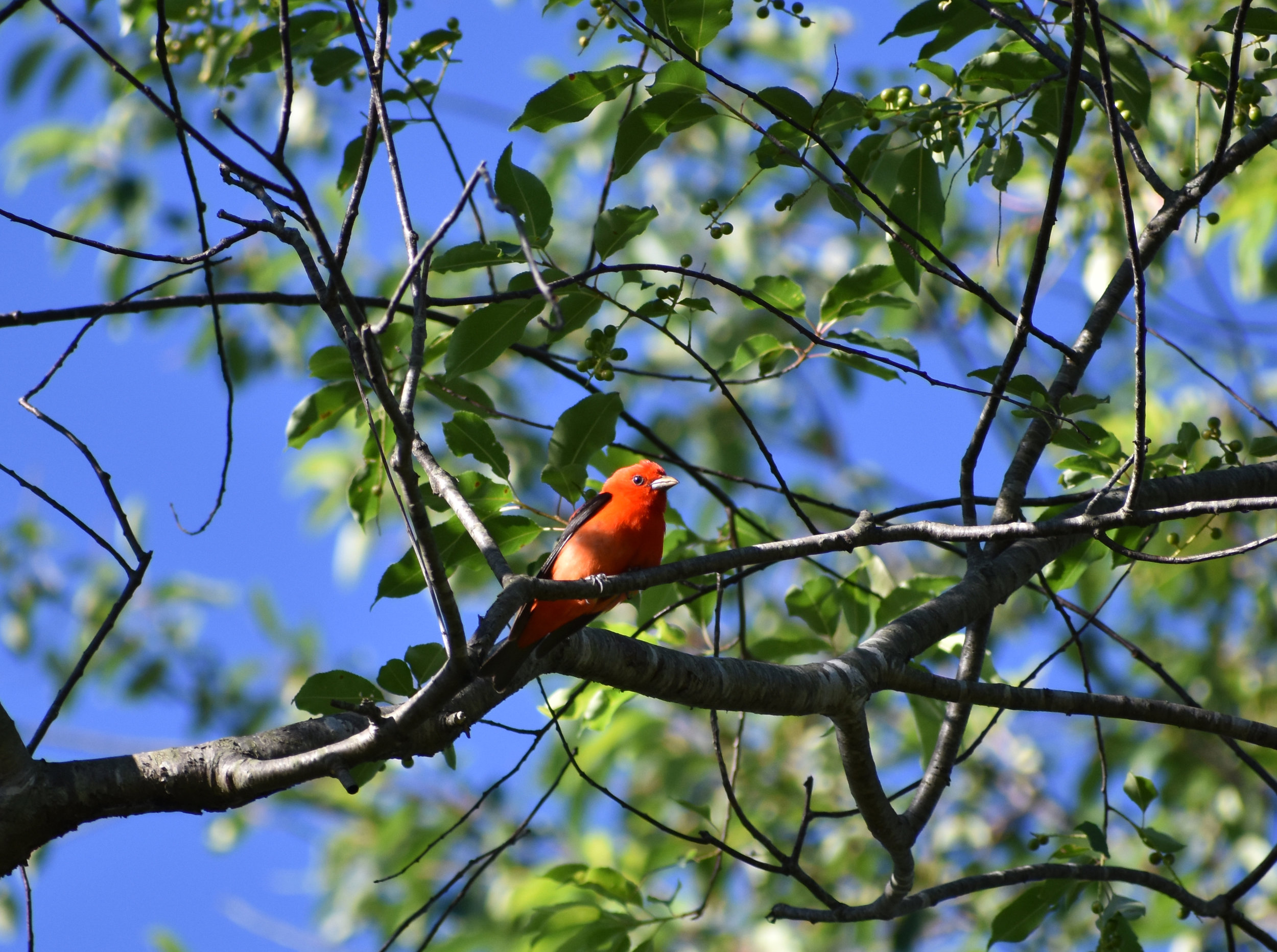 Scarlet Tanager in Wild Cherry
