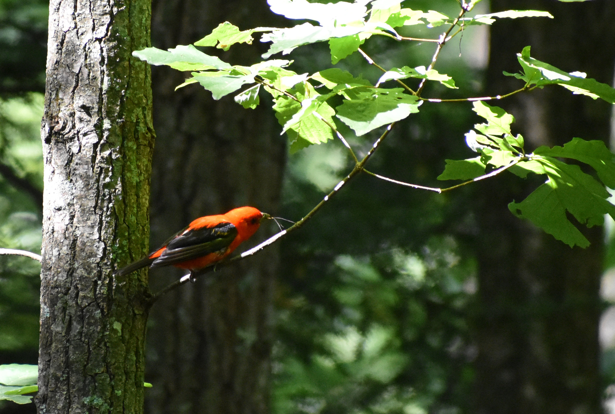 Scarlet Tanager stealing from spider web in Chestnut Oak