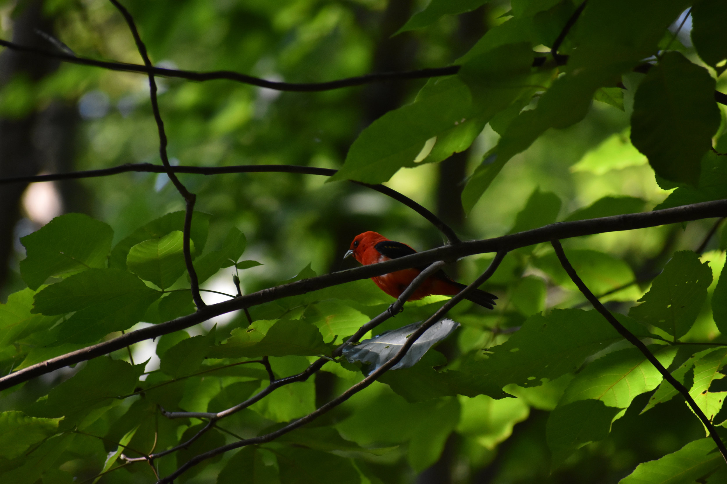 Scarlet Tanager in Hickory