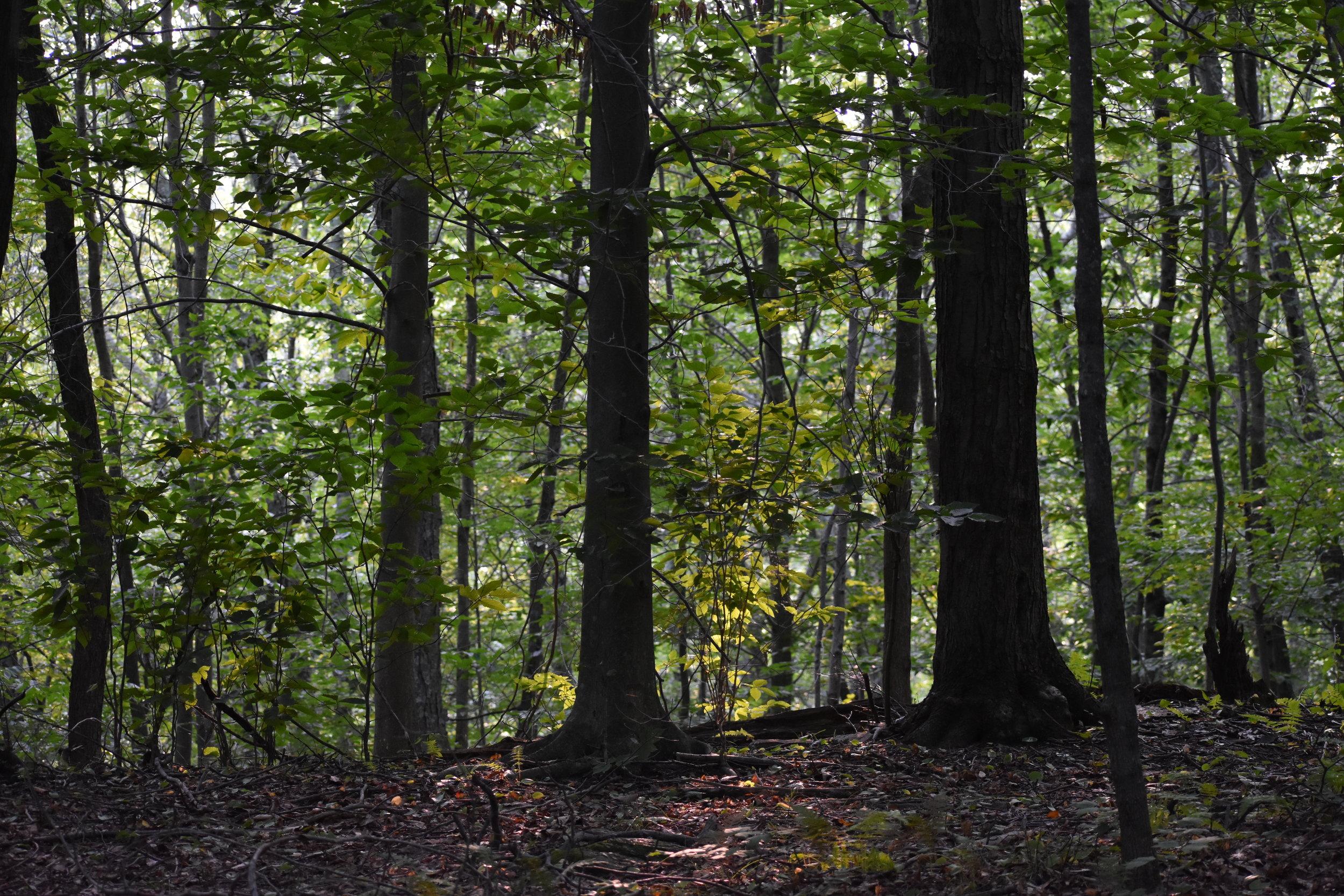 Scarlet Tanager Habitat: Mature Forest