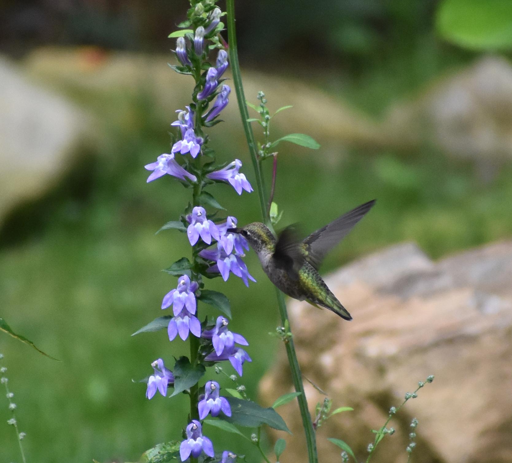 Ruby-Throated Hummingbird & Great Lobelia