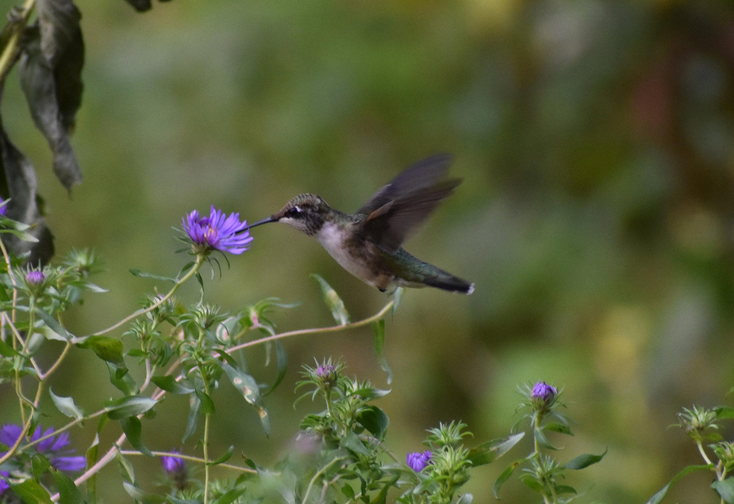 Ruby-Throated Hummingbird & New England Aster