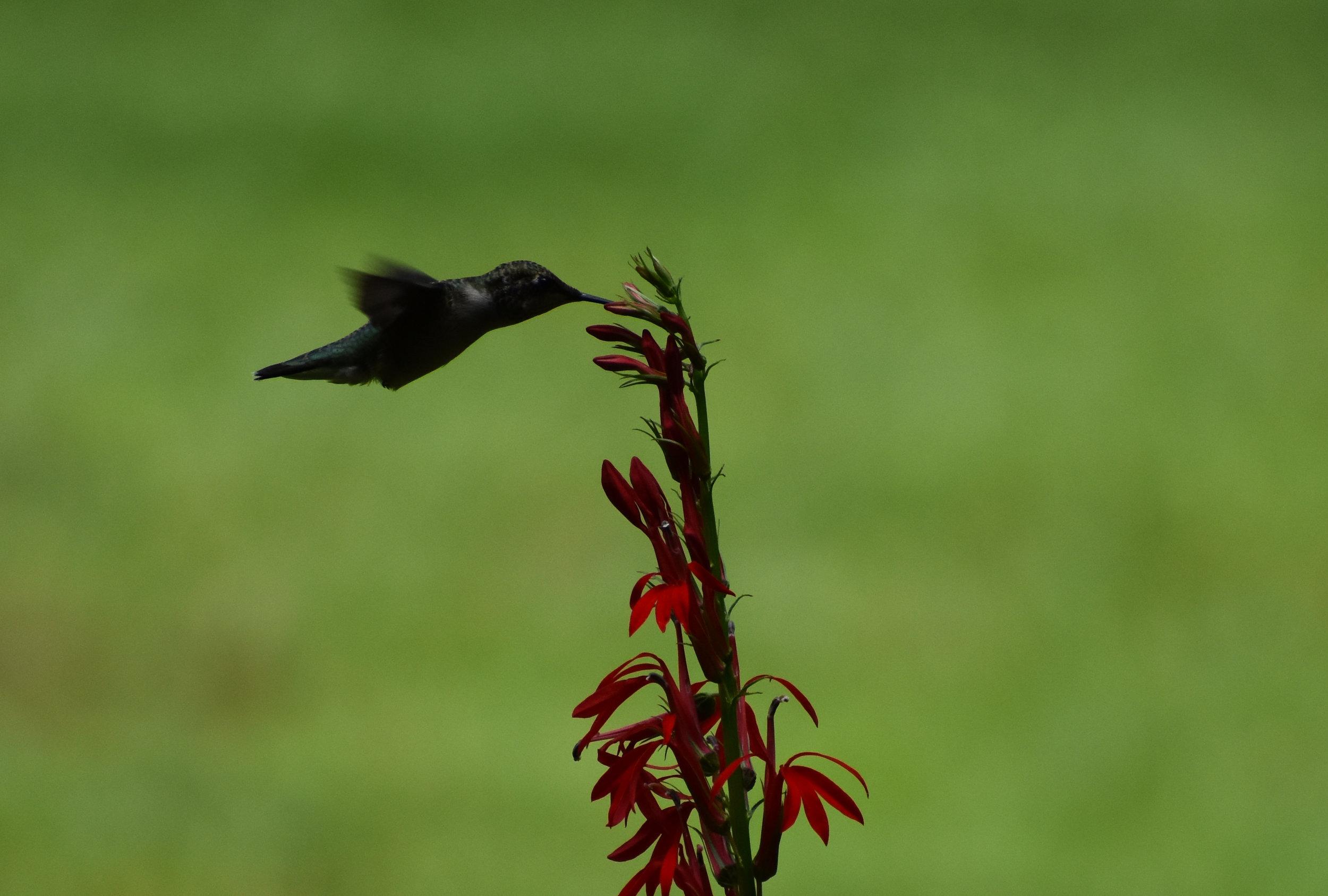 Ruby-Throated Hummingbird & Cardinal Flower