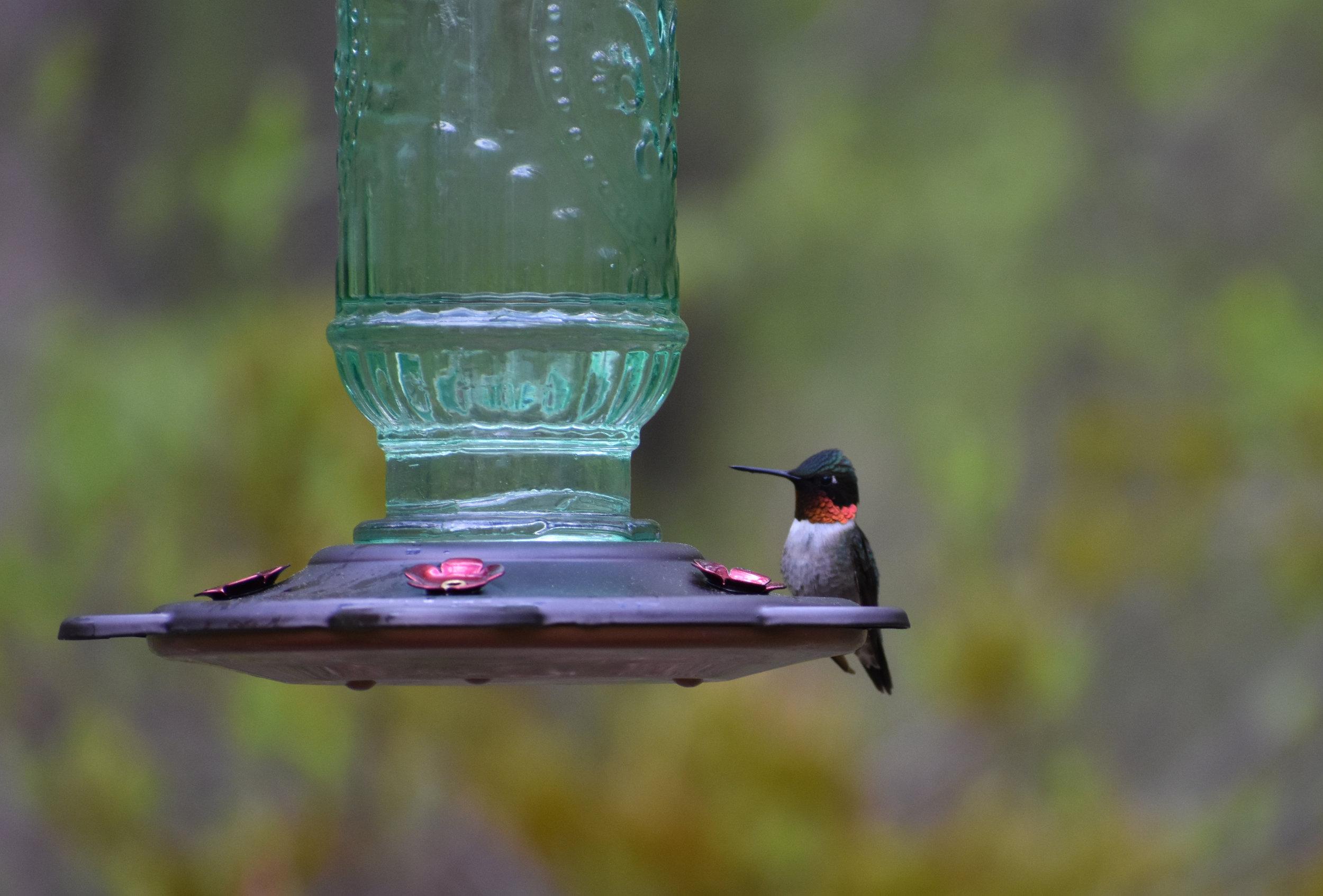 Ruby-Throated Hummingbird & Nectar Feeder