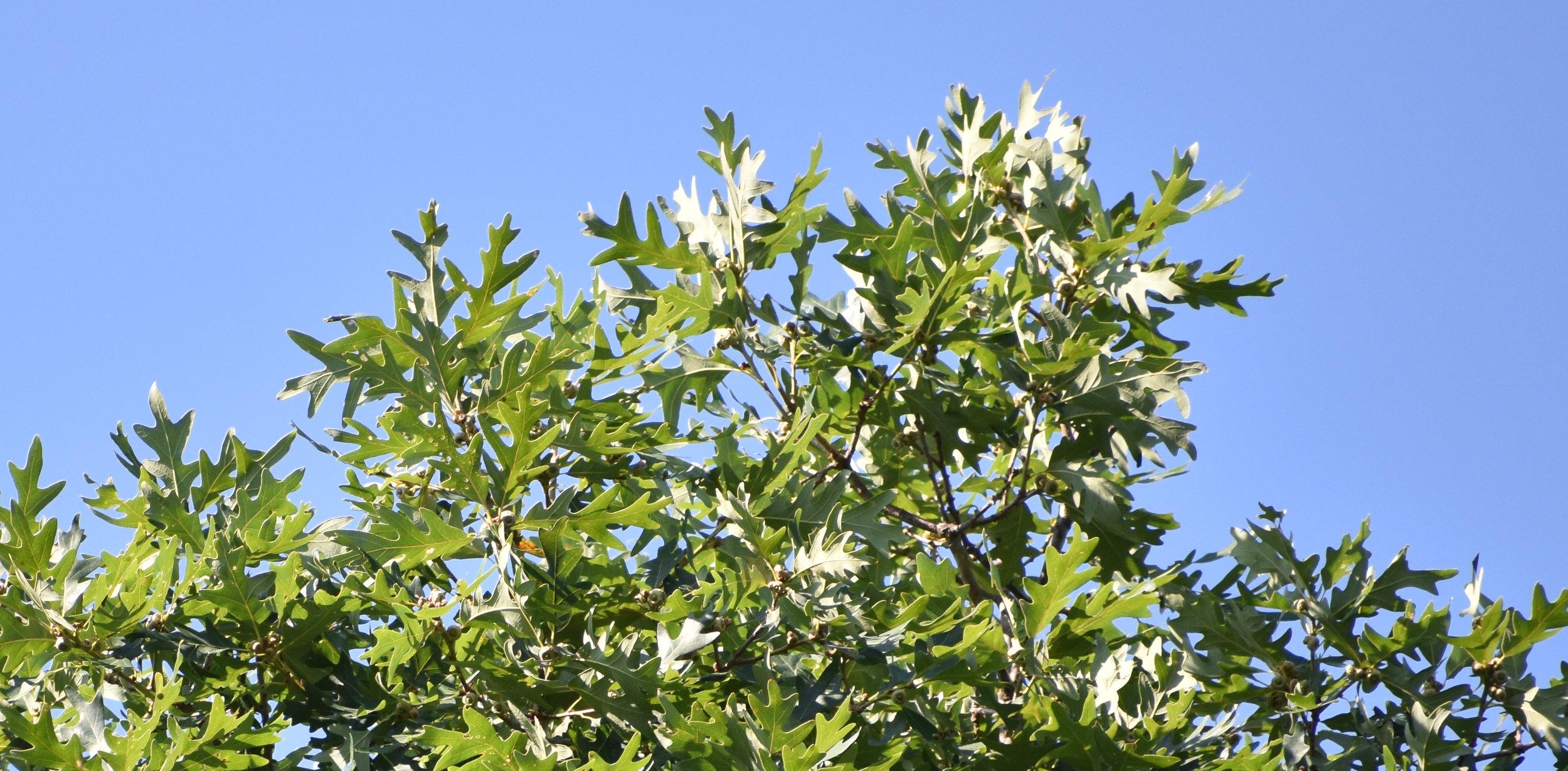 Oak (White)