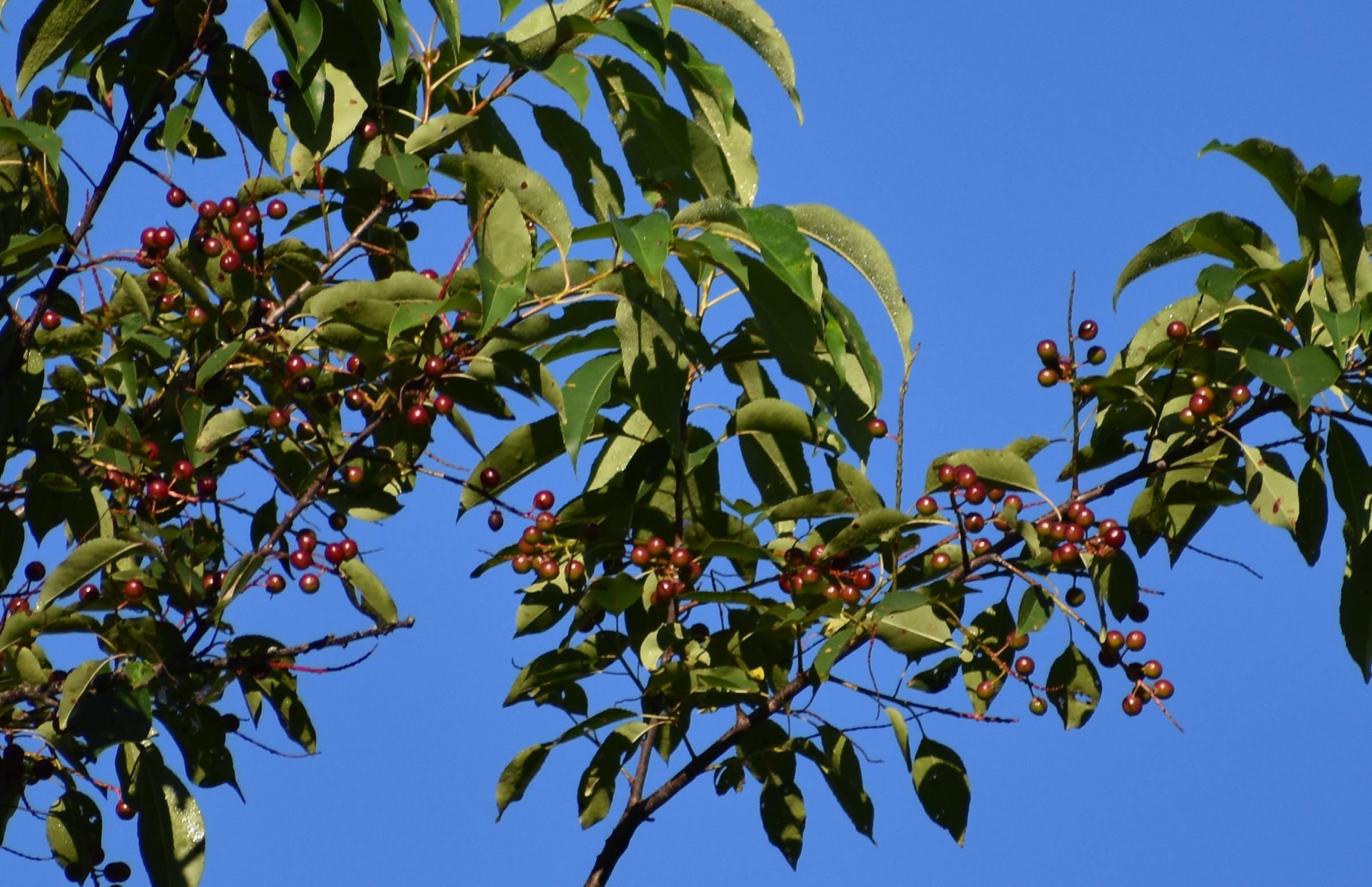 Wild Black Cherry