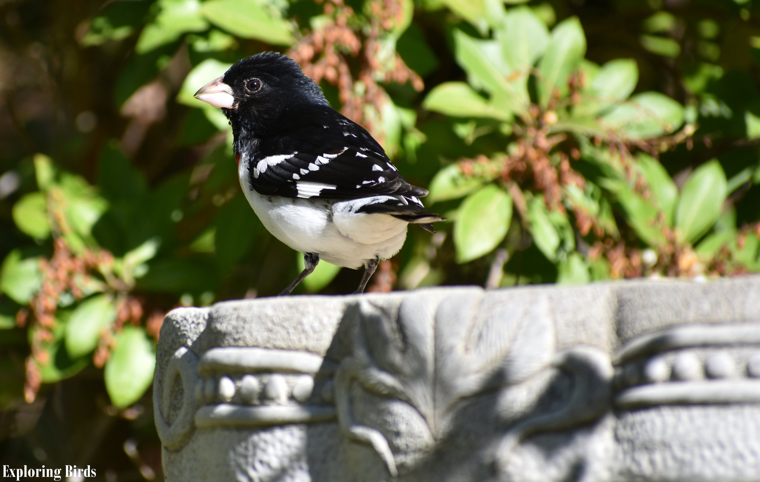 How to Attract Rose-Breasted Grosbeak