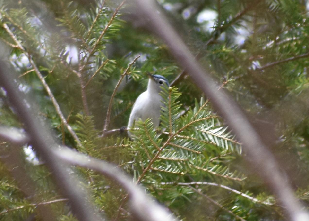 Blue-Gray Gnatcatcher in Eastern Hemlock