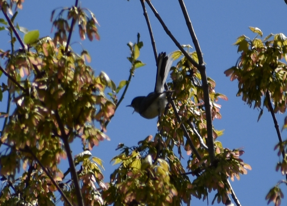 Blue-Gray Gnatcatcher in Red Maple