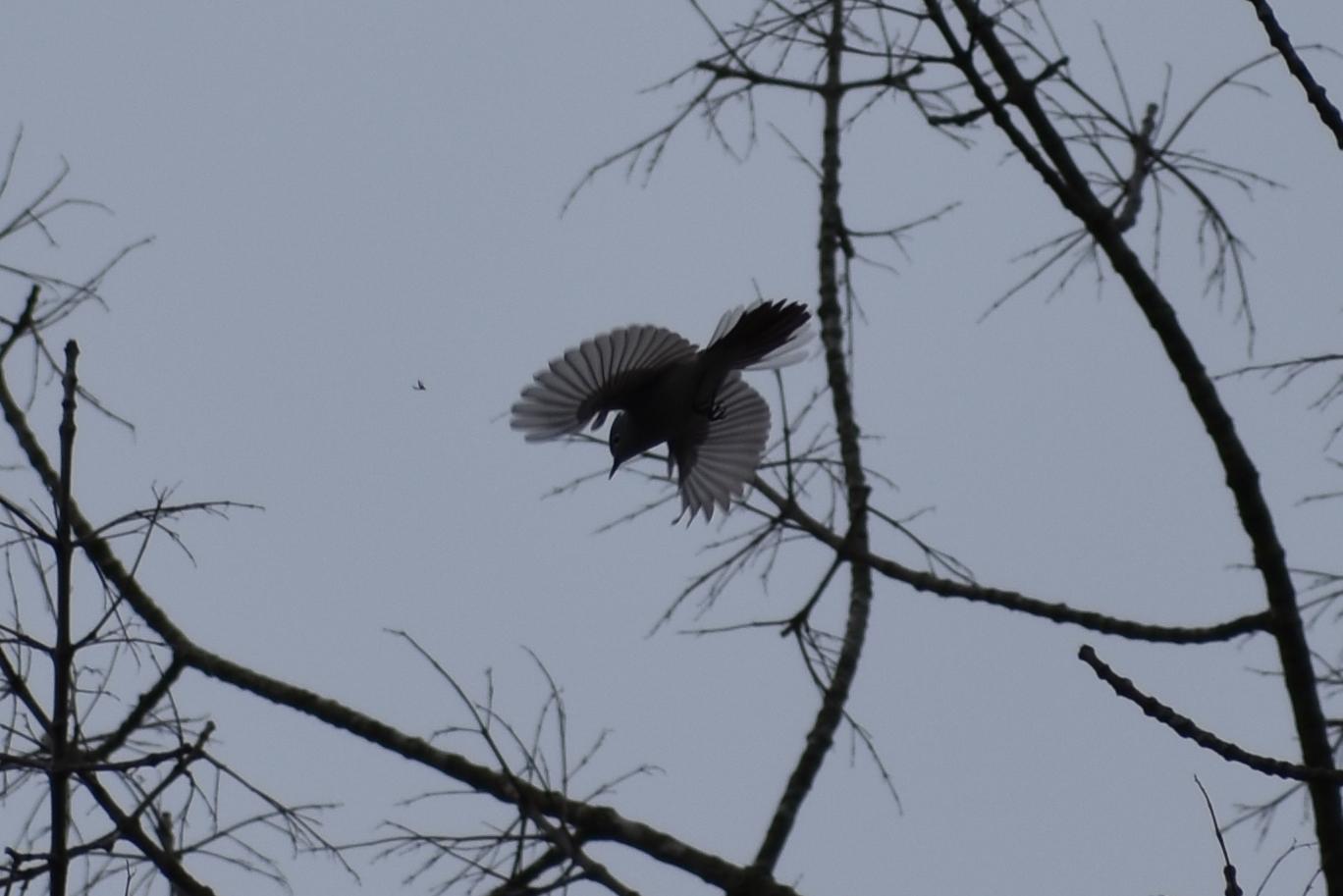Blue-Gnatcatcher pursuing an insect