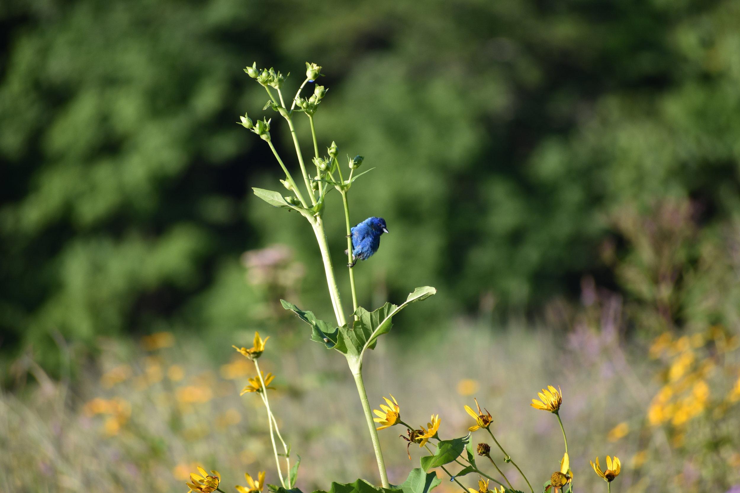 Indigo Bunting on Sunflower stalk