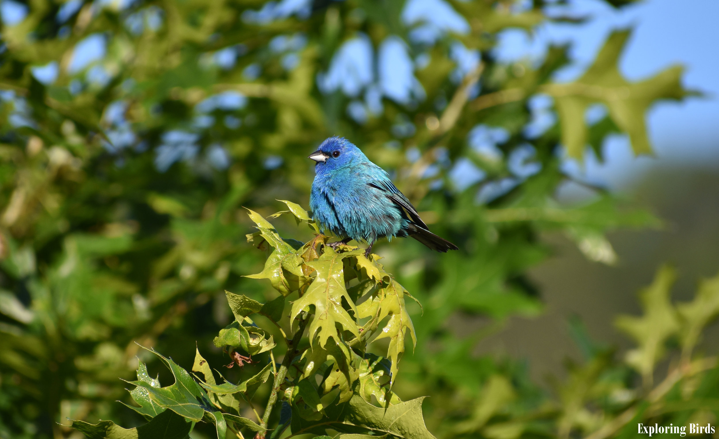 How to Attract Indigo Bunting