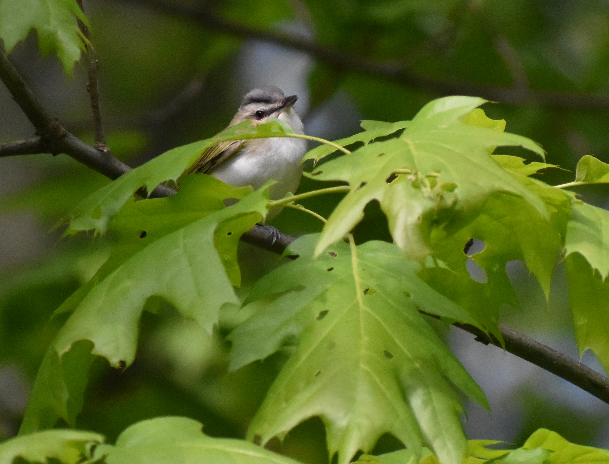 Red-Eyed Vireo in Red Oak